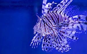 Обои Рыбы Подводный мир Крылатка