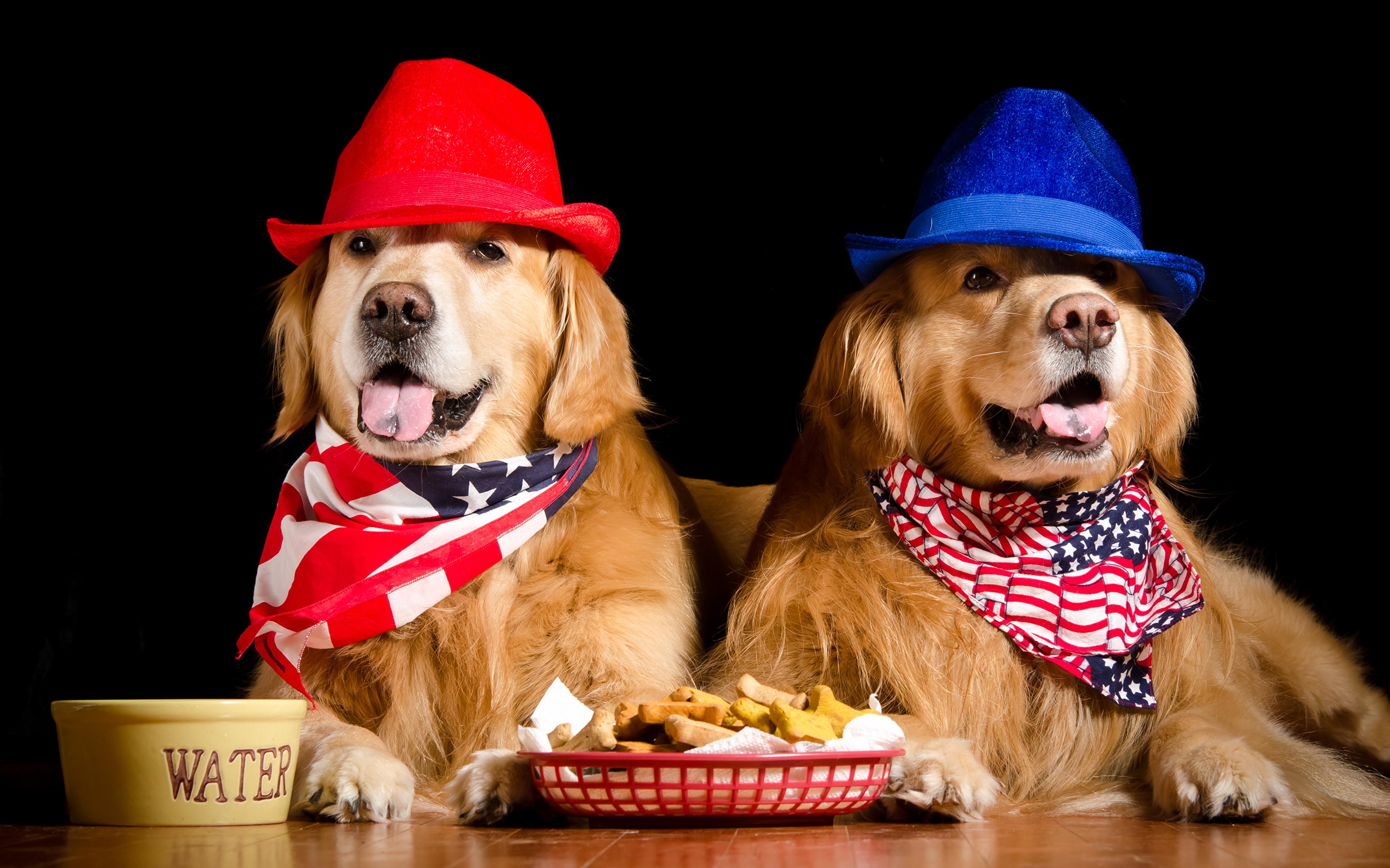 Картинка Золотистый ретривер собака Двое Шляпа животное Черный фон 3840x2400 Голден Собаки 2 две два шляпе шляпы вдвоем Животные на черном фоне
