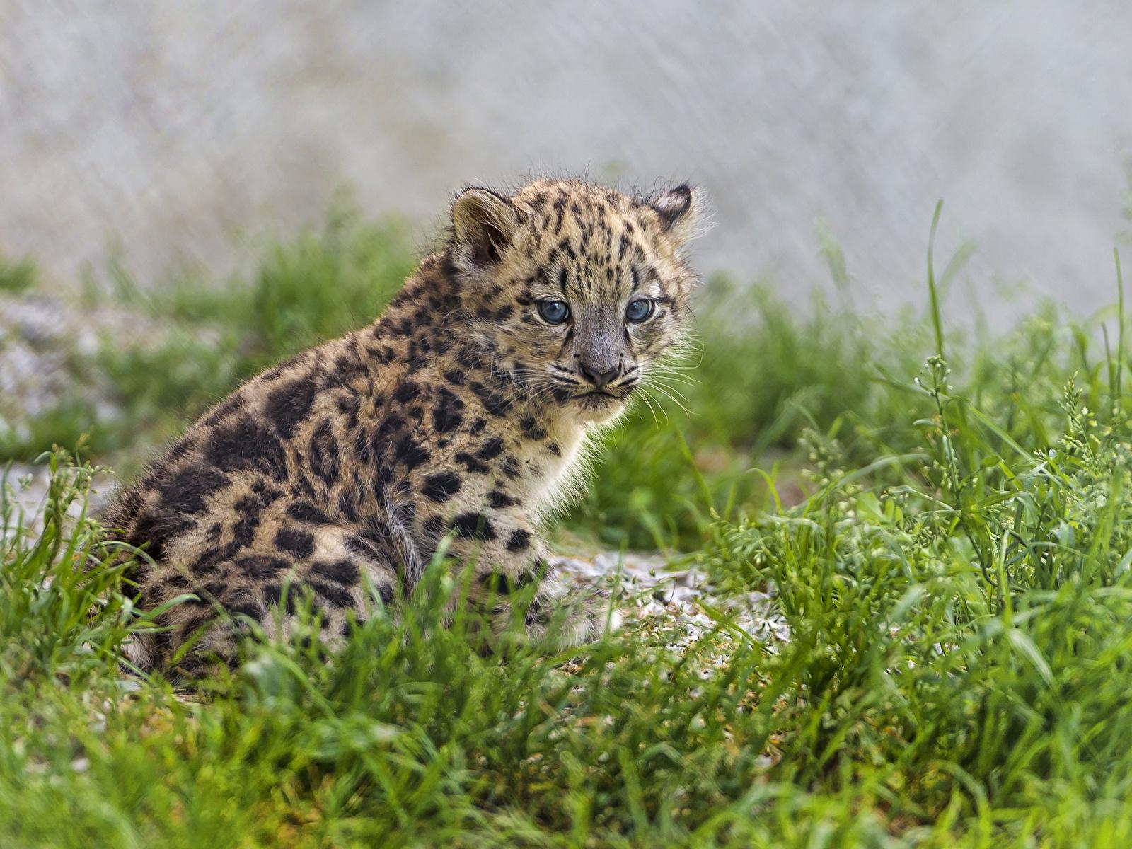 Фотография Ирбис Большие кошки Детеныши траве Животные 1600x1200 Барсы Трава животное