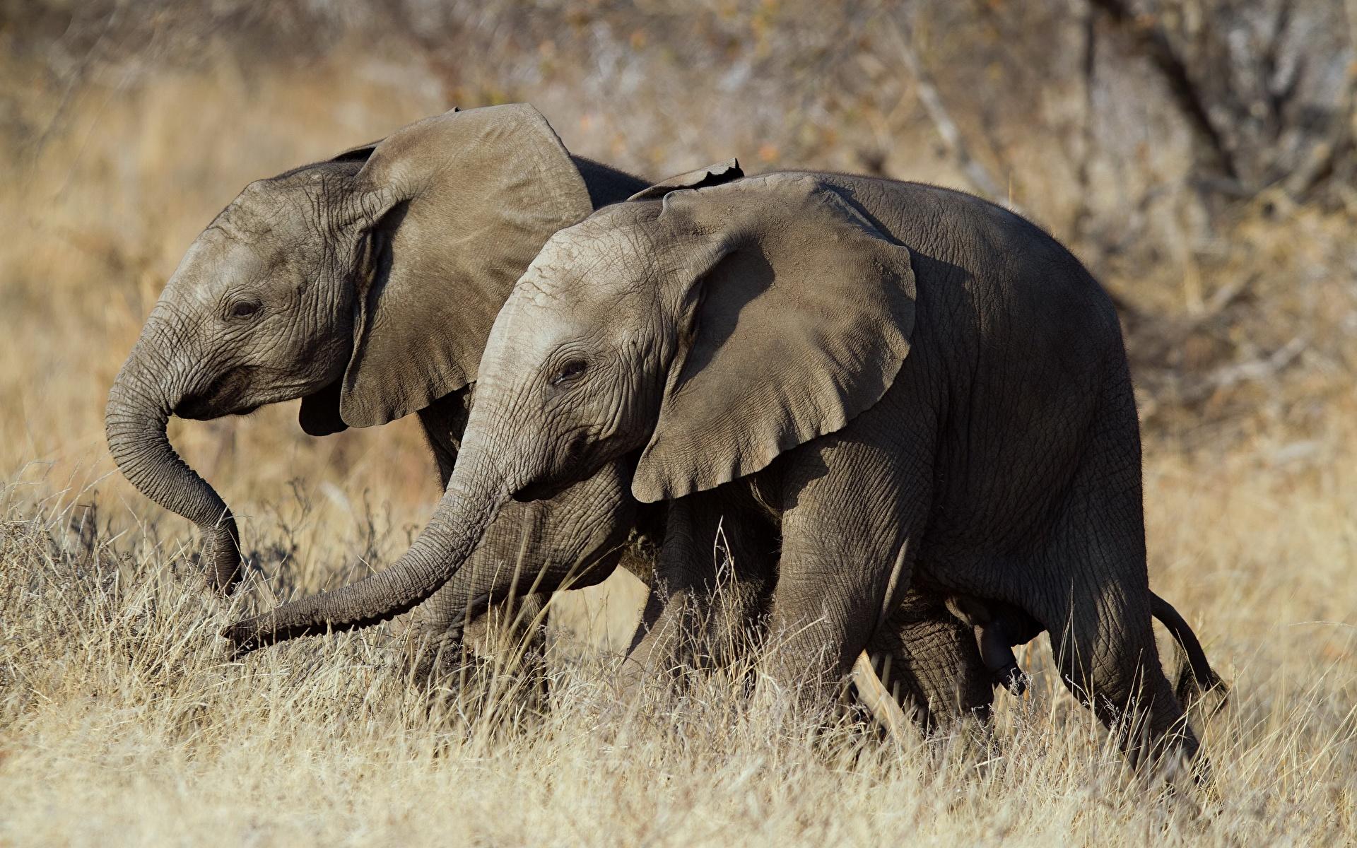 Фотографии слон Двое Животные 1920x1200 Слоны 2 два две вдвоем животное