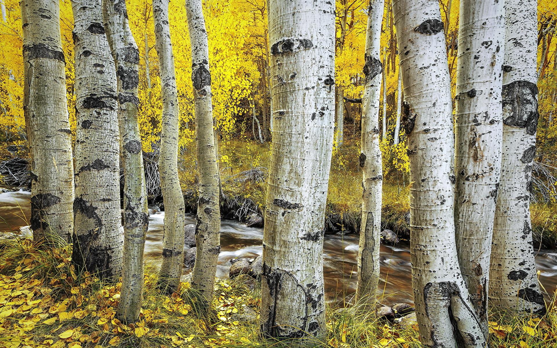 природа деревья березы осень без смс