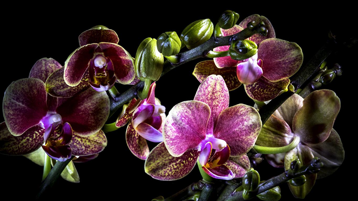 Фото орхидея цветок Черный фон Крупным планом 1366x768 Орхидеи Цветы вблизи на черном фоне
