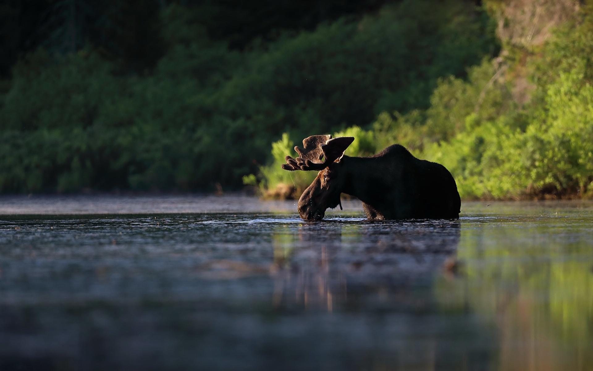 Картинки Лоси Вода Животные 1920x1200 воде животное