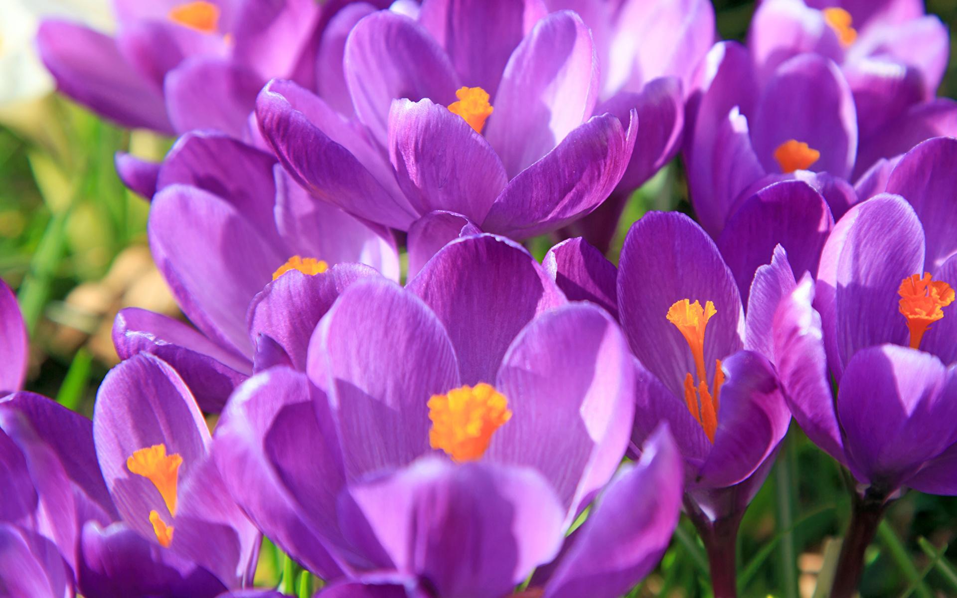 Картинка Фиолетовый Цветы Крокусы вблизи 1920x1200 Шафран Крупным планом