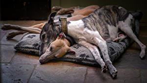 Картинка Собака 2 Спят Борзые Грейхаунд Животные