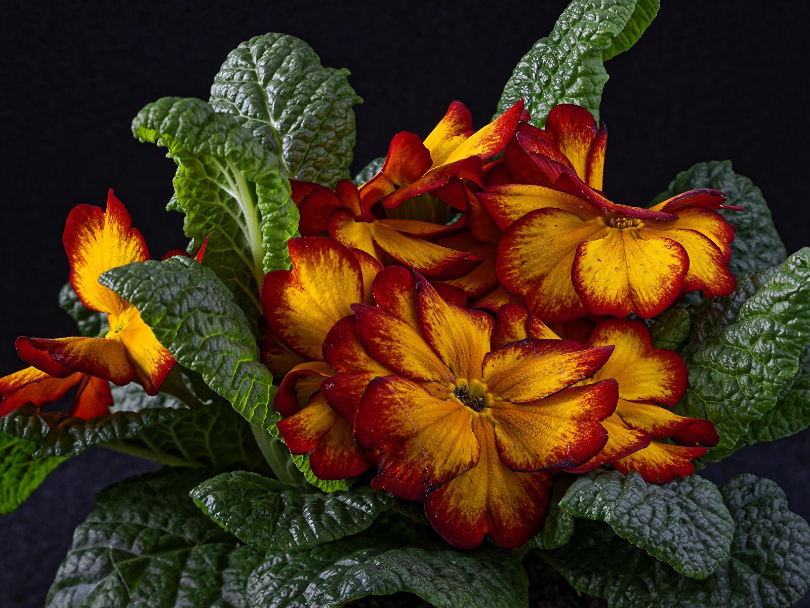 Фотография лист Цветы Примула вблизи Черный фон 1600x1200 Листья Листва Первоцвет Крупным планом