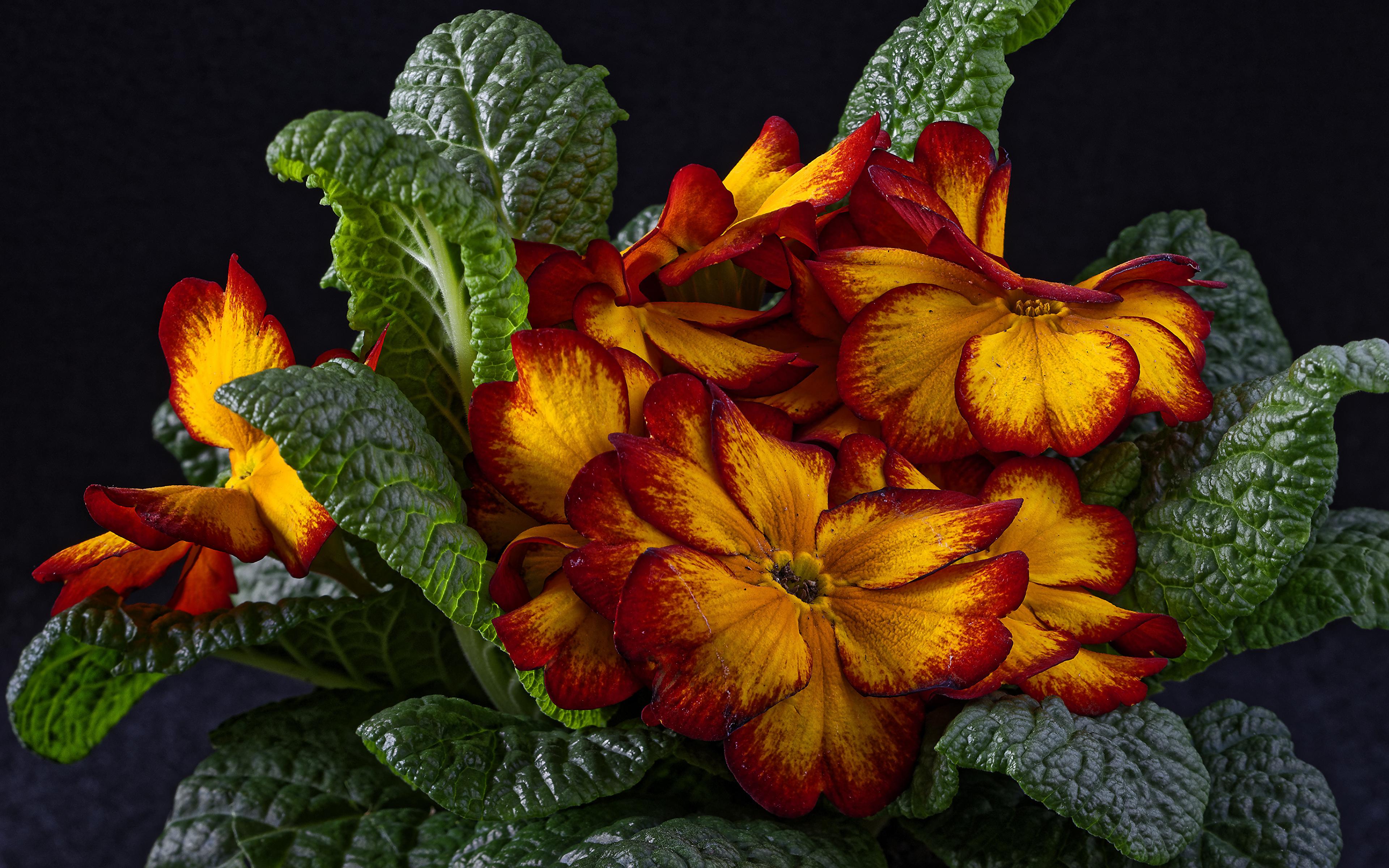 Фотография лист Цветы Примула вблизи Черный фон 3840x2400 Листья Листва цветок Первоцвет на черном фоне Крупным планом
