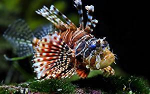 Картинки Подводный мир Рыбы Крылатка