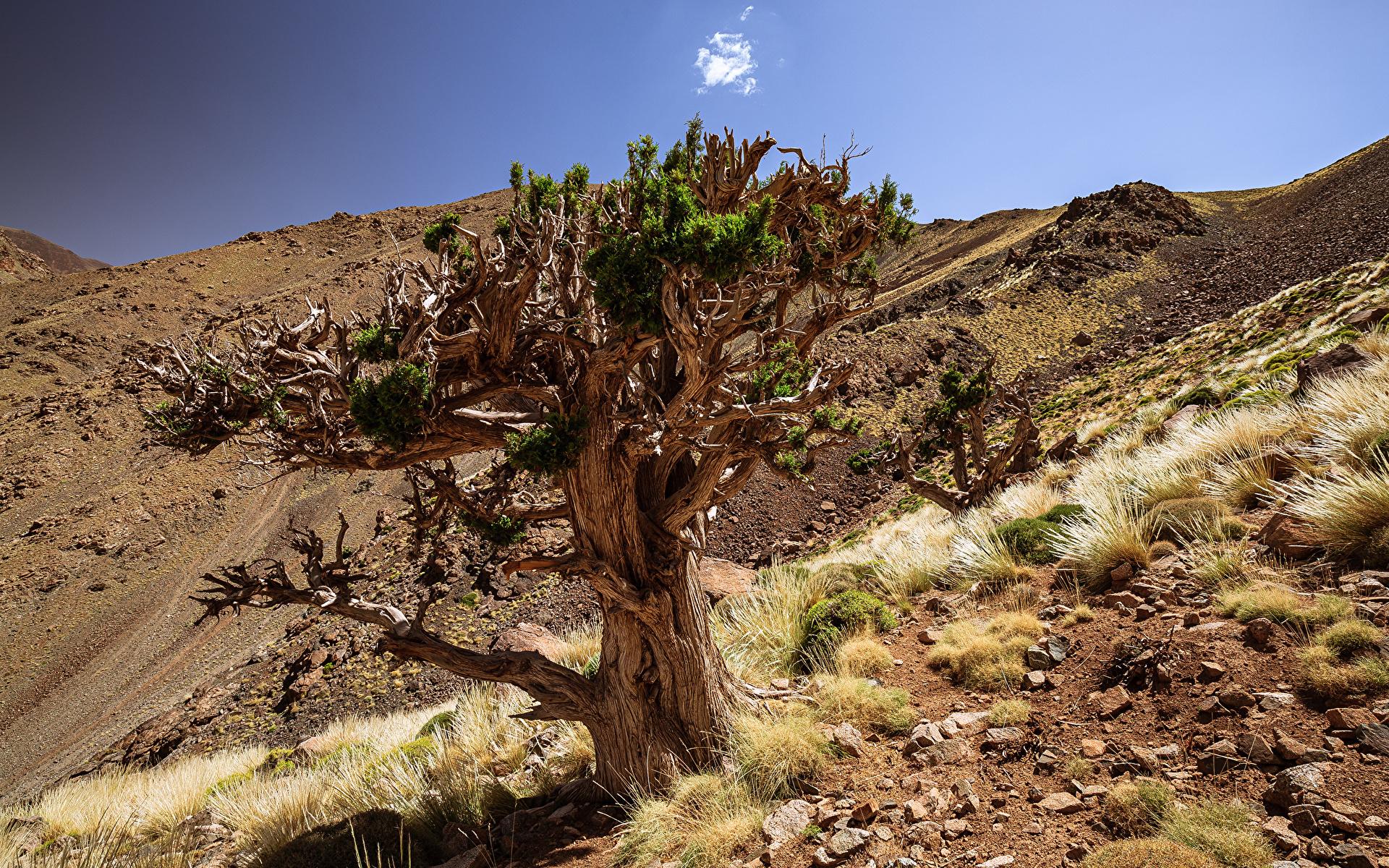 Обои для рабочего стола Африка Марокко Juniper Tree Природа Камни Деревья 1920x1200 Камень дерево дерева деревьев