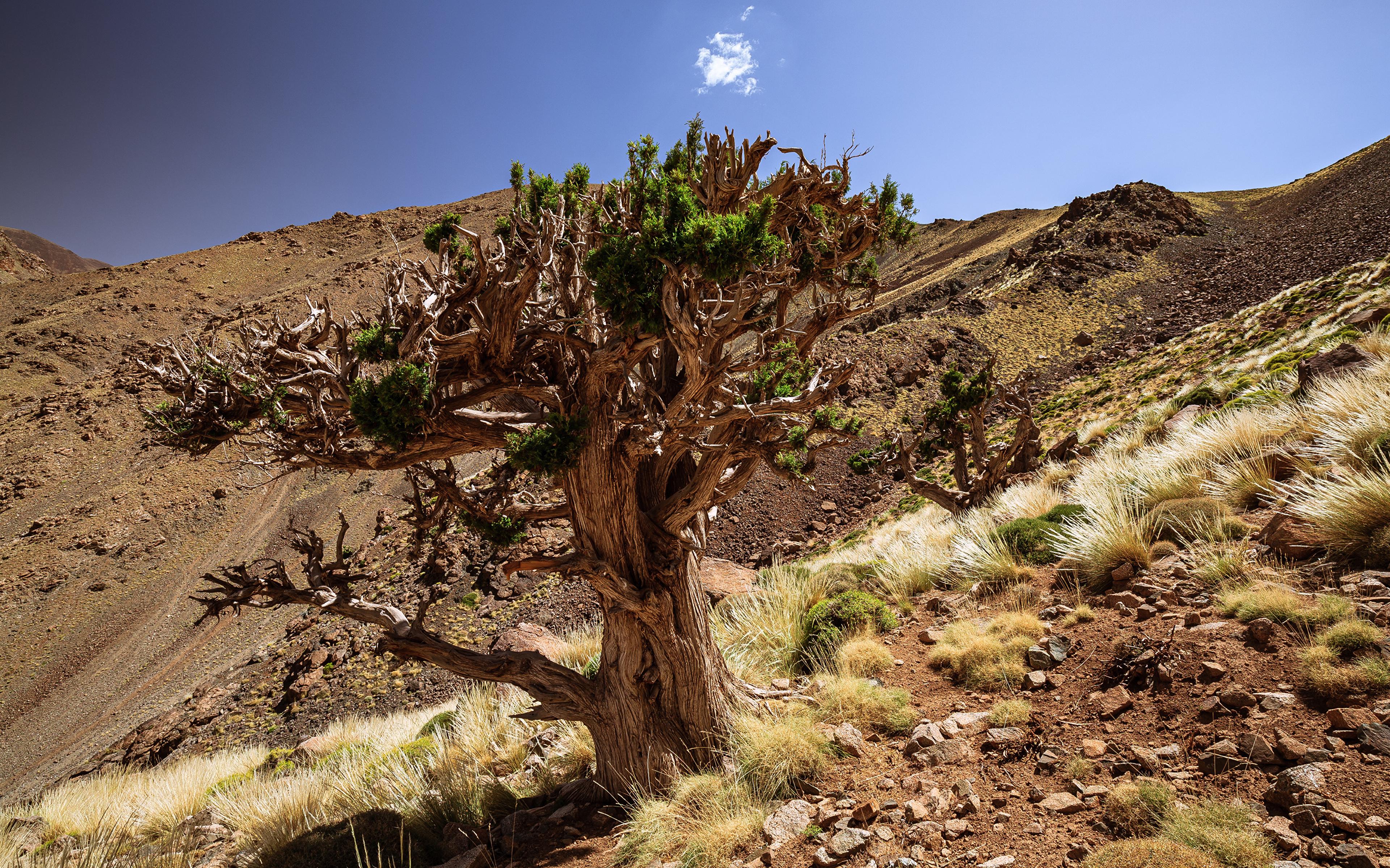 Обои для рабочего стола Африка Марокко Juniper Tree Природа Камни Деревья 3840x2400 Камень дерево дерева деревьев