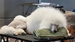 Фотографии Собаки Пудель Белые Спящий животное