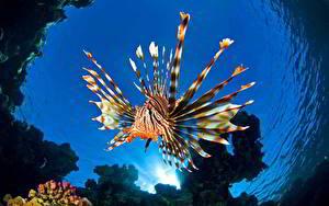 Фотография Рыбы Подводный мир Вода Крылатка