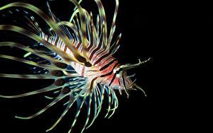 Фотографии Рыбы Крылатки