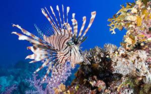 Фото Подводный мир Кораллы Рыбы Крылатки