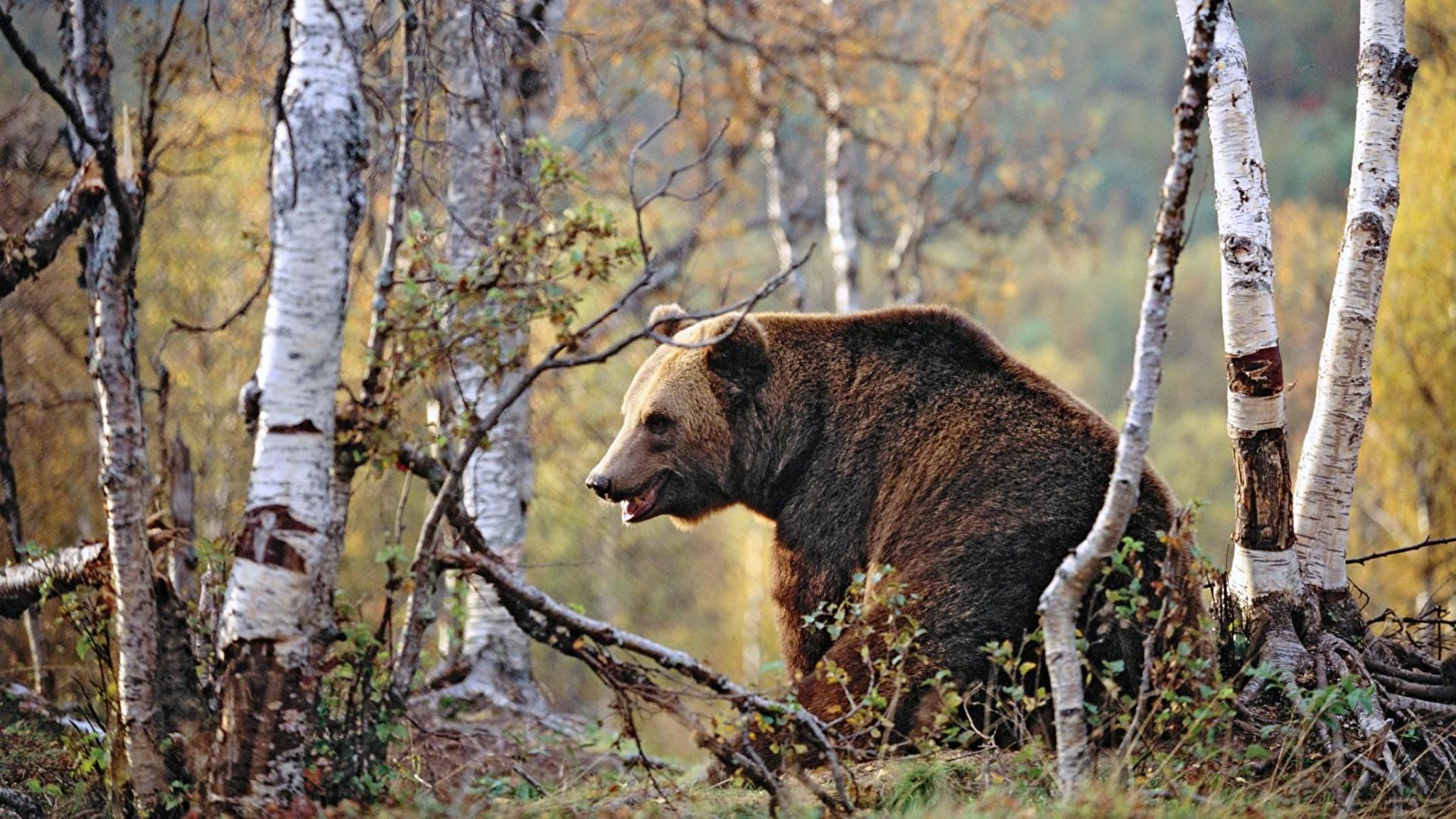 Медведь бесплатно