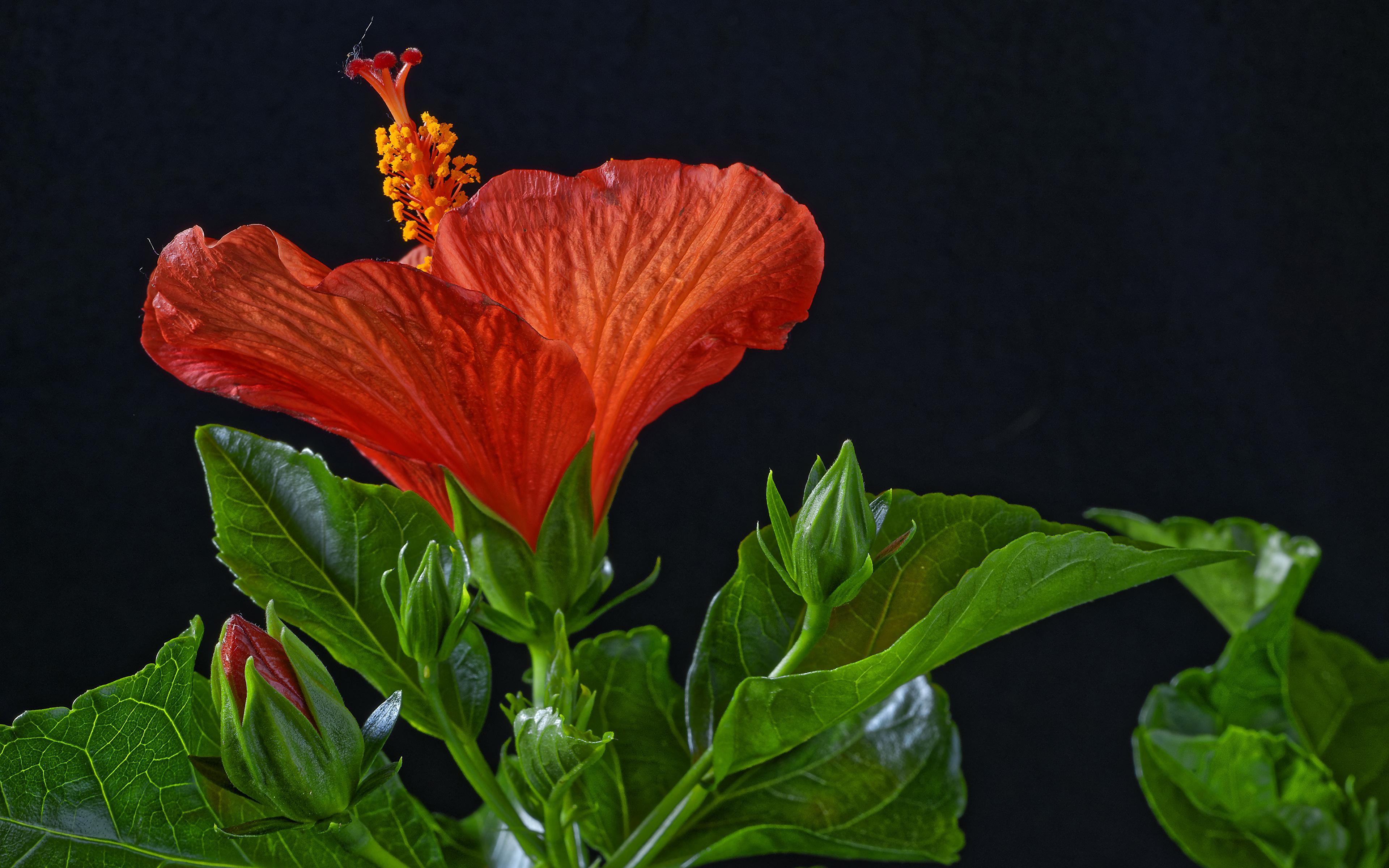 Фотография красная Цветы Гибискусы Бутон на черном фоне Крупным планом 3840x2400 красных красные Красный цветок вблизи Черный фон