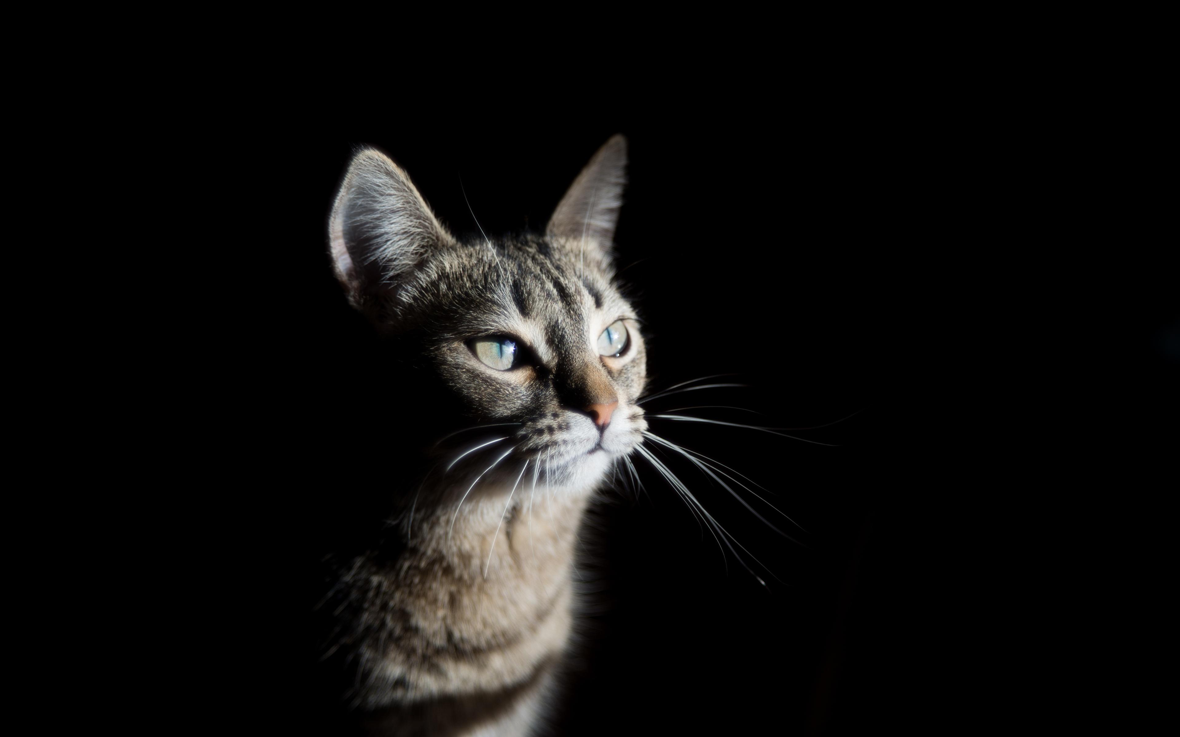 Фото Кошки Усы Вибриссы смотрит Животные Черный фон 3840x2400 кот коты кошка Взгляд смотрят животное на черном фоне