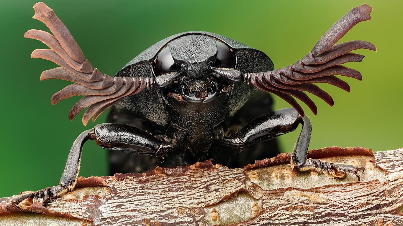 Фото Жуки Насекомые click beetle вблизи животное 1366x768 насекомое Животные Крупным планом