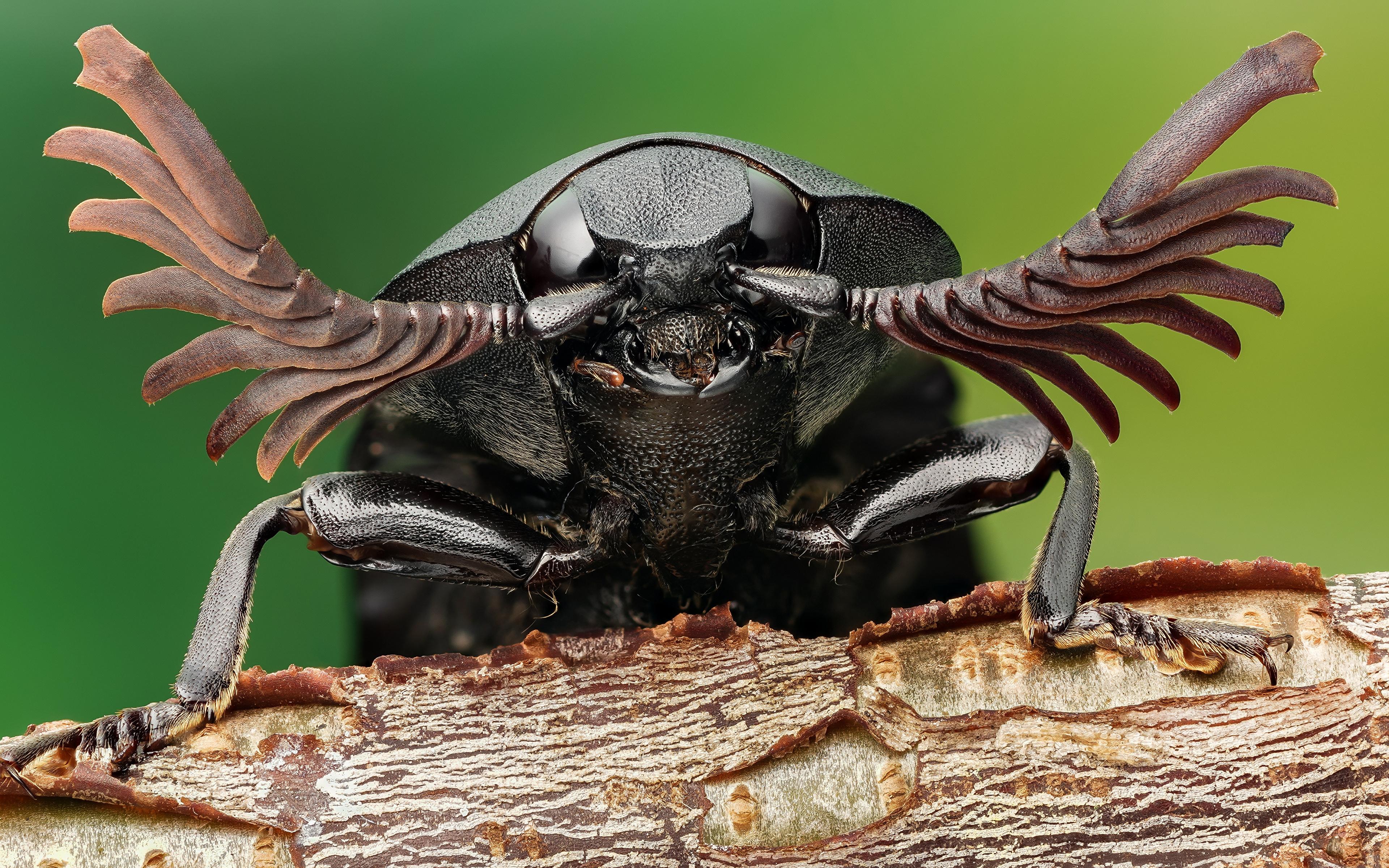 Фото Жуки Насекомые click beetle вблизи животное 3840x2400 насекомое Животные Крупным планом