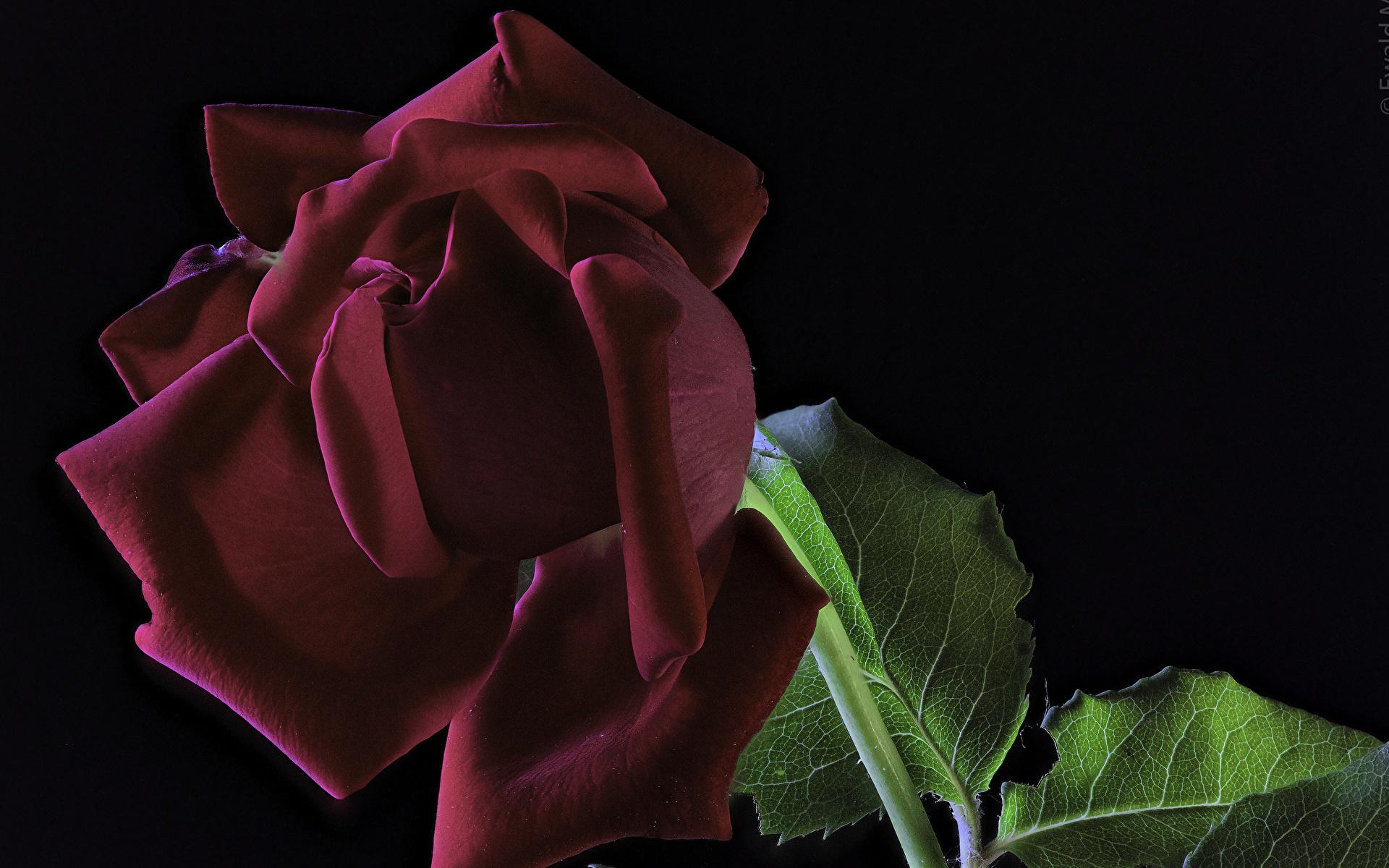 Фотографии Розы Бордовый Цветы Черный фон Крупным планом 1920x1200 вблизи