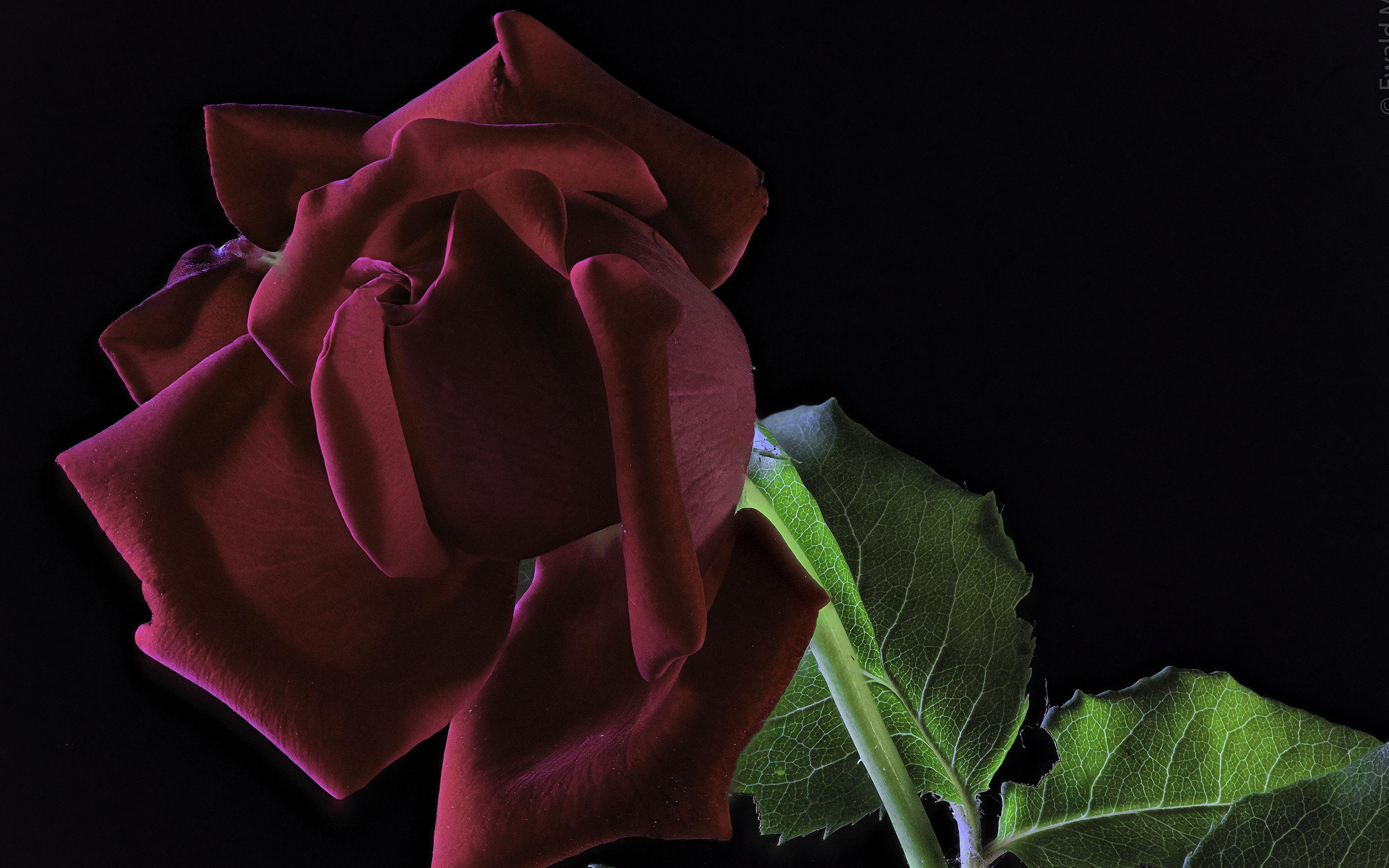 Фотографии Розы бордовая Цветы вблизи на черном фоне 3840x2400 роза бордовые Бордовый темно красный цветок Черный фон Крупным планом