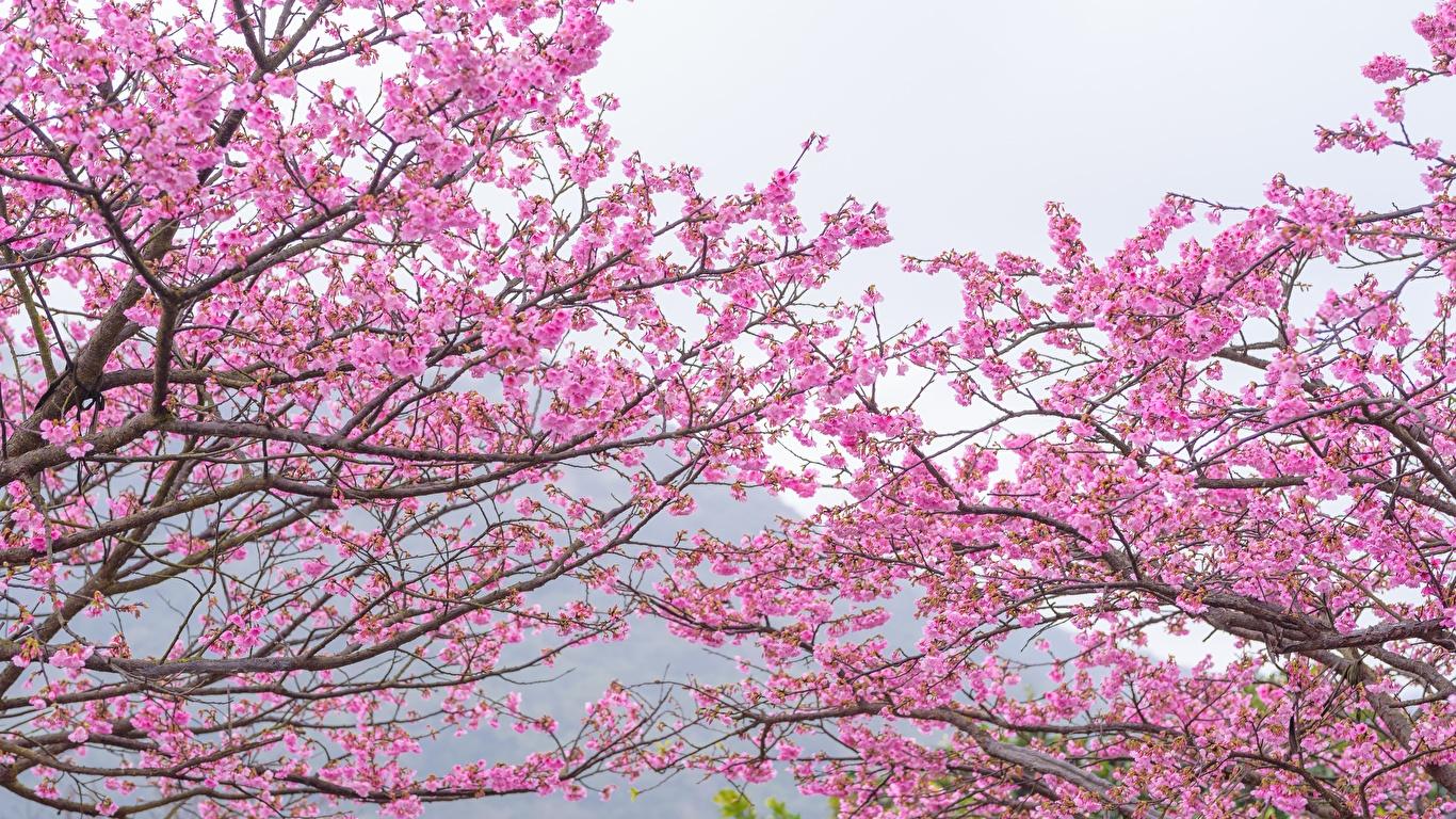 Фотографии Сакура Розовый Цветы Ветки Цветущие деревья 1366x768