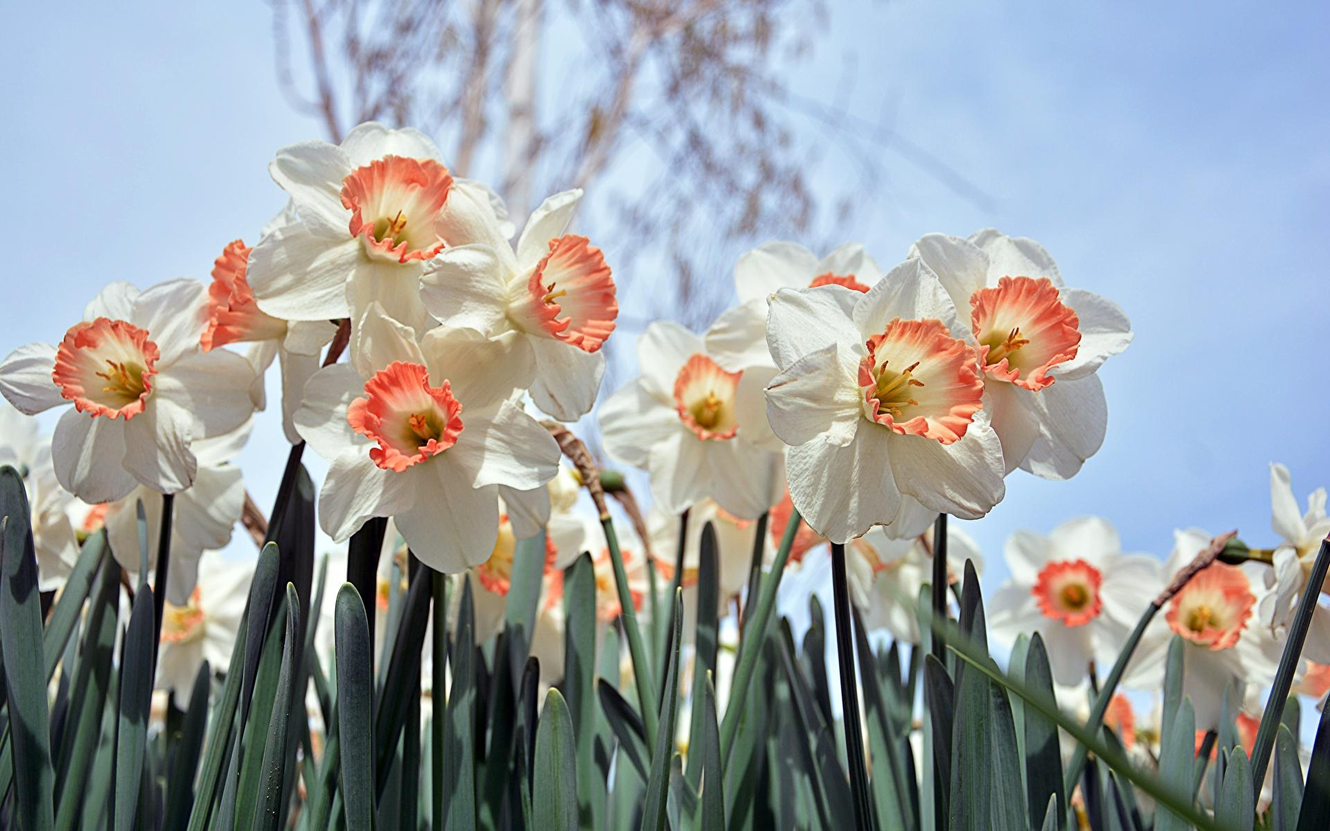 Фотографии Белый Цветы Нарциссы Крупным планом 1920x1200 белая белые белых цветок вблизи