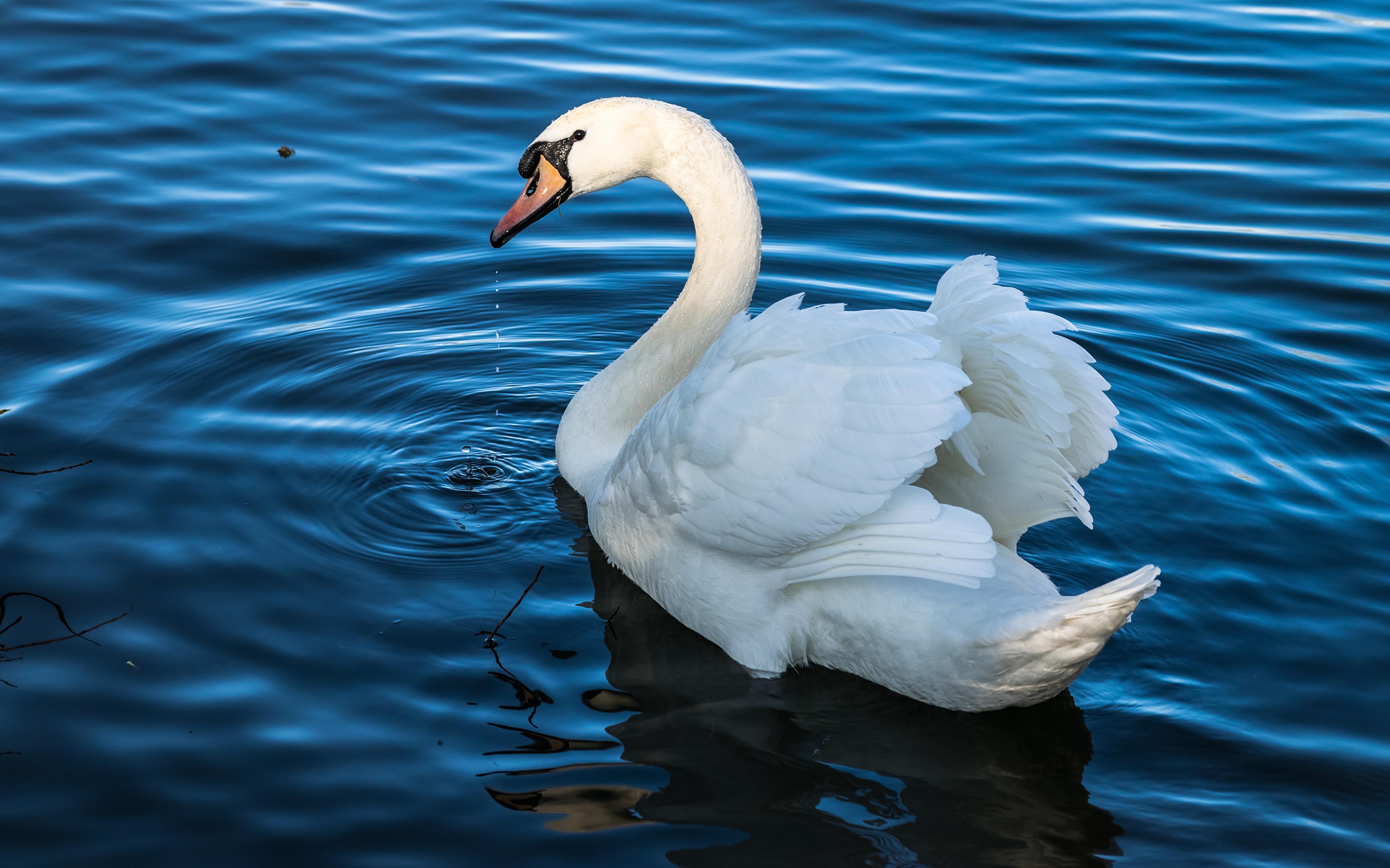 природа животные белые лебеди море бесплатно