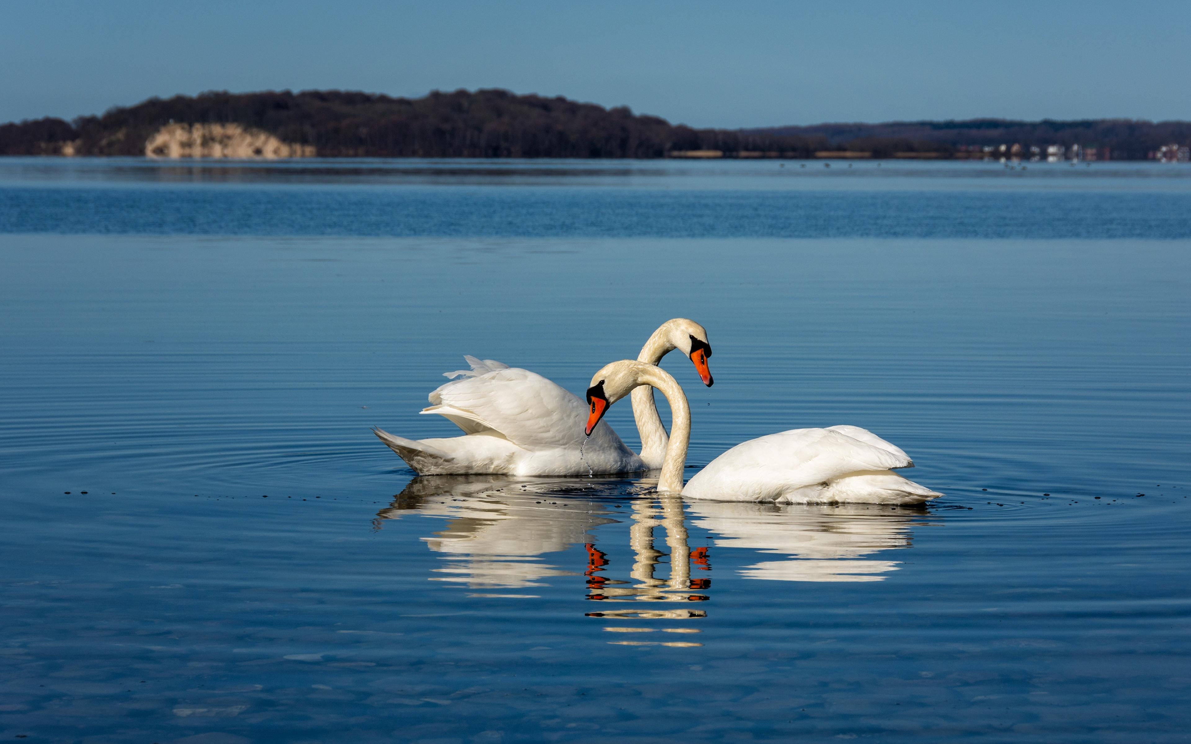 Фото птица лебедь Двое белых животное 3840x2400 Птицы Лебеди 2 два две белая белые Белый вдвоем Животные
