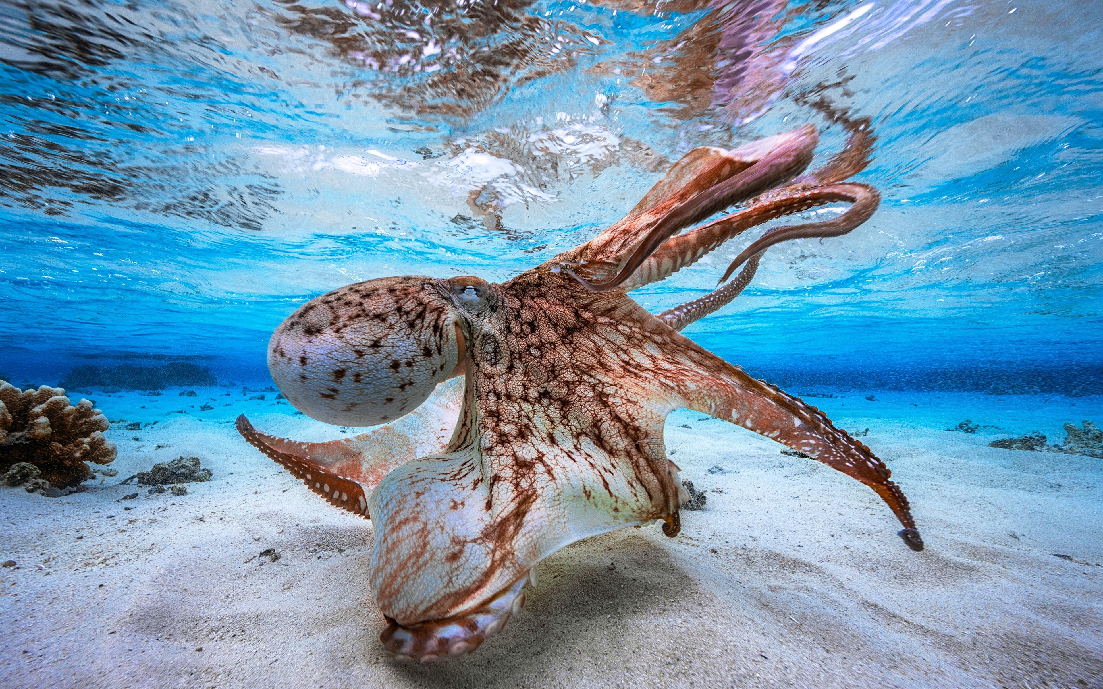 Картинки Осьминоги Подводный мир песке Животные 3840x2400 осминог песка Песок животное