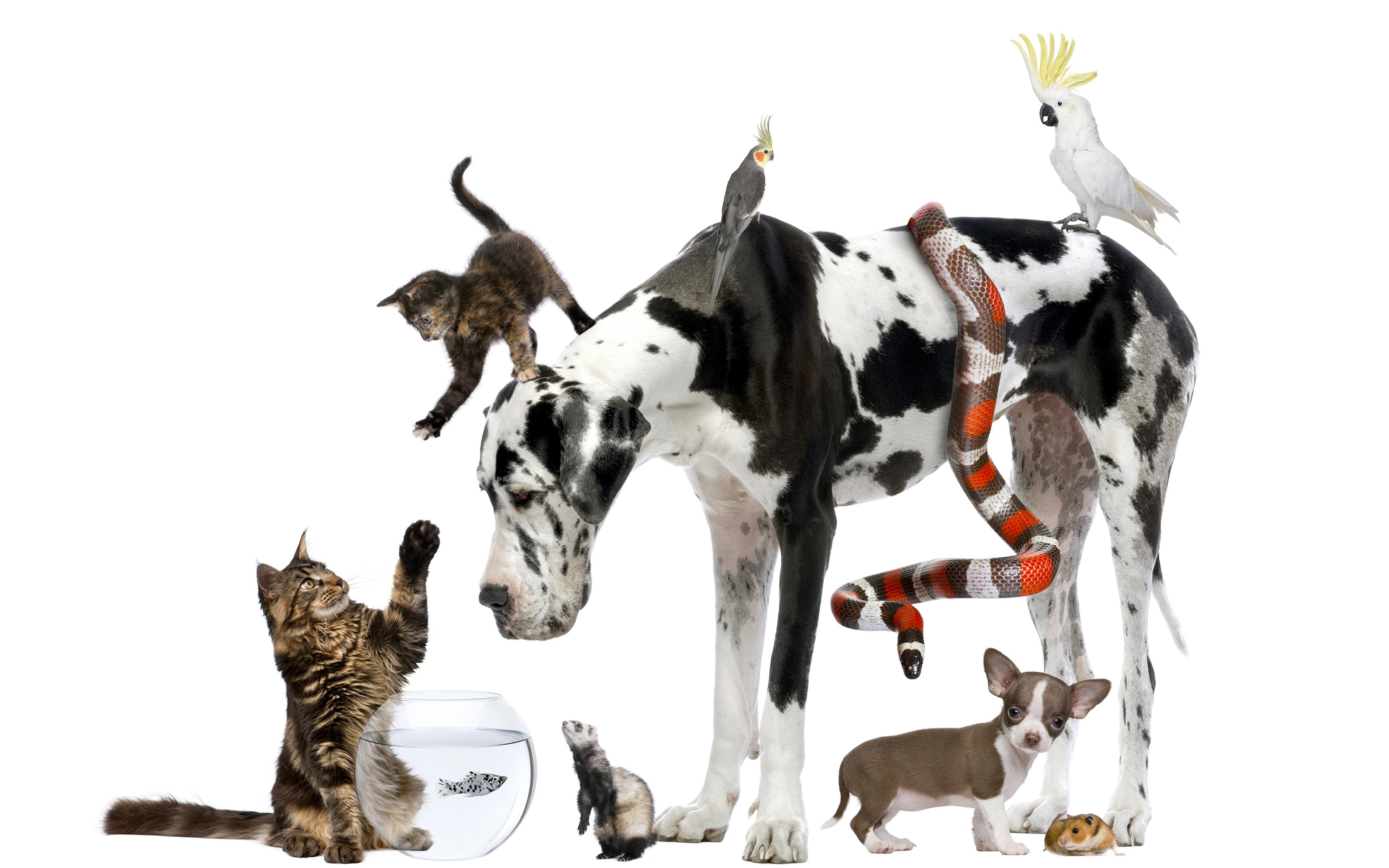 Картинка котят Еноты щенка Чихуахуа далматинцев кот Змеи собака Попугаи Морские свинки животное белом фоне 3840x2400 щенки Щенок Котята щенков котенка котенок Далматин далматинца Далматинец коты Кошки кошка Собаки Животные Белый фон белым фоном
