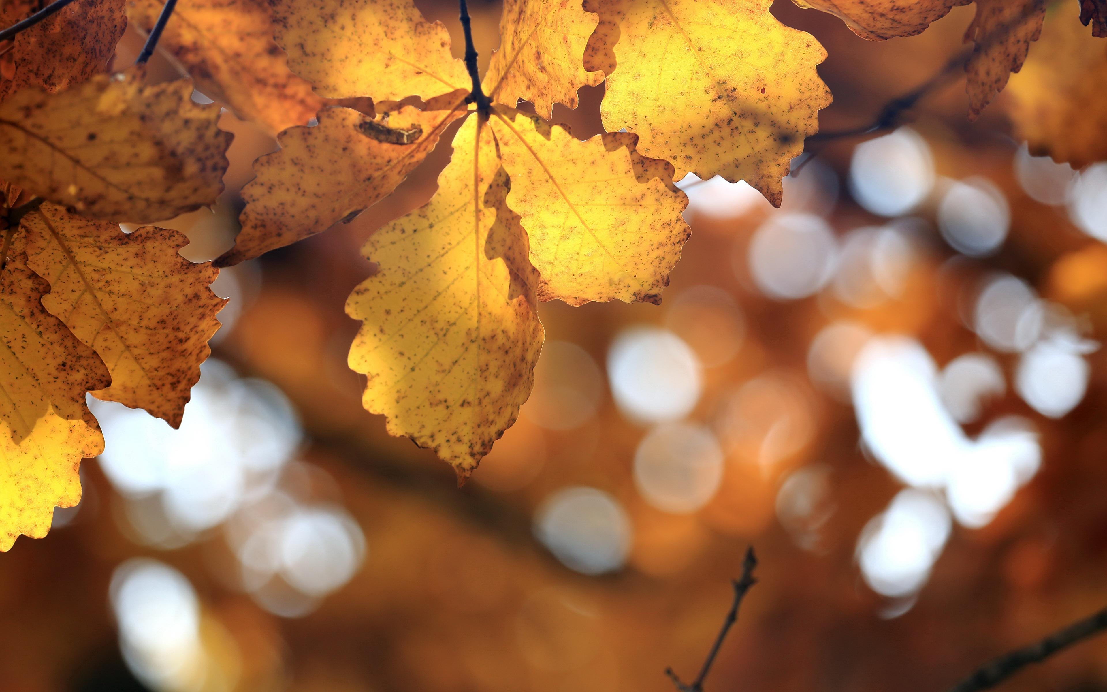 Картинки Листья боке Дуб осенние Природа 3840x2400 лист Листва Размытый фон Осень
