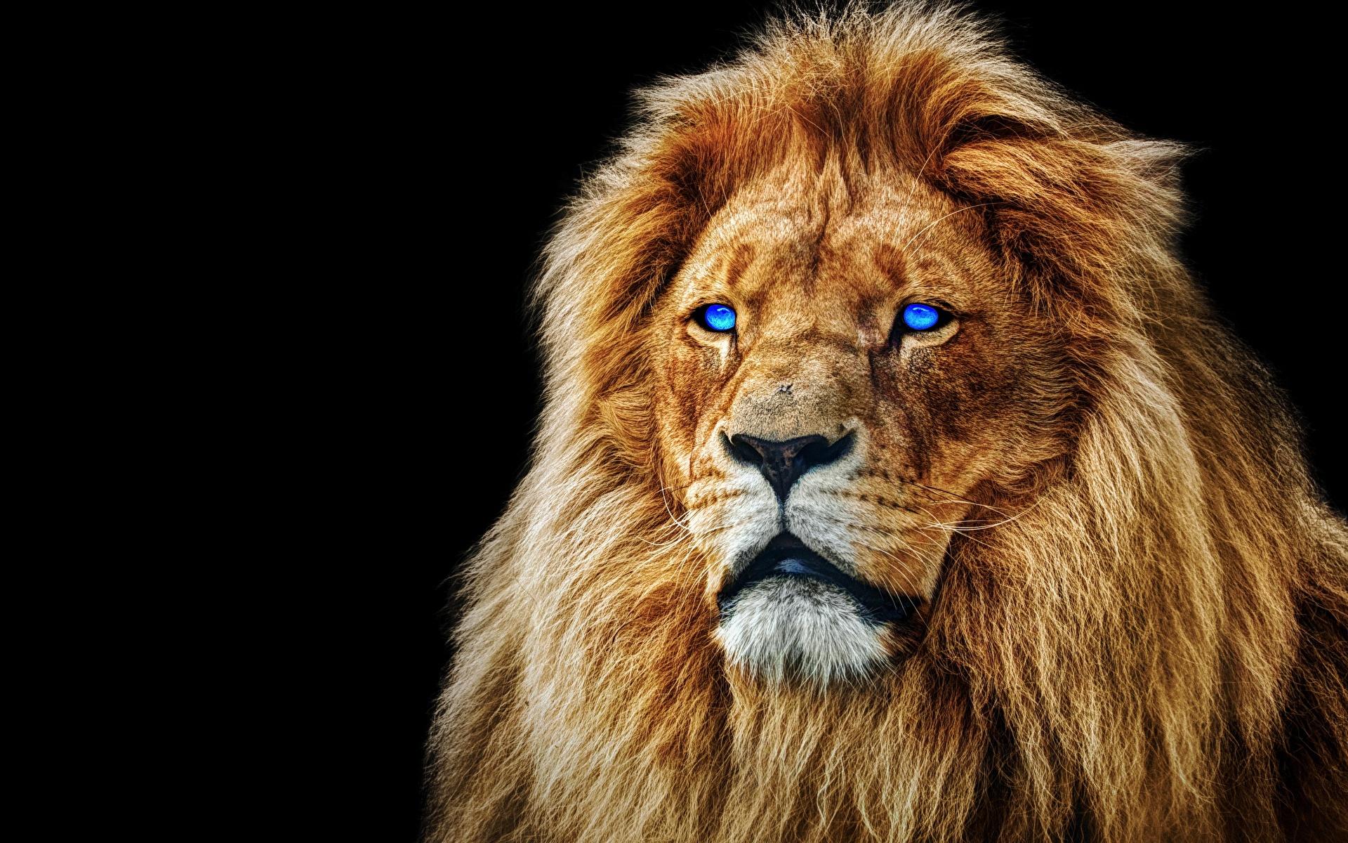 Обои лев, морда, животное. Животные foto 17