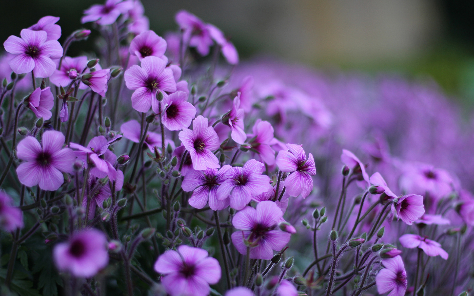 Flower - HD1680×1050