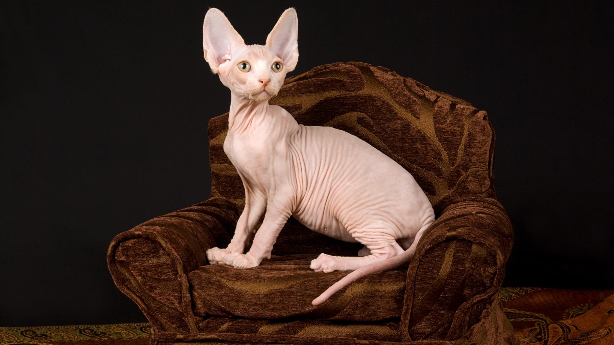 Фото Сфинкс кошка Коты Кресло Животные Черный фон 2048x1152 Кошки