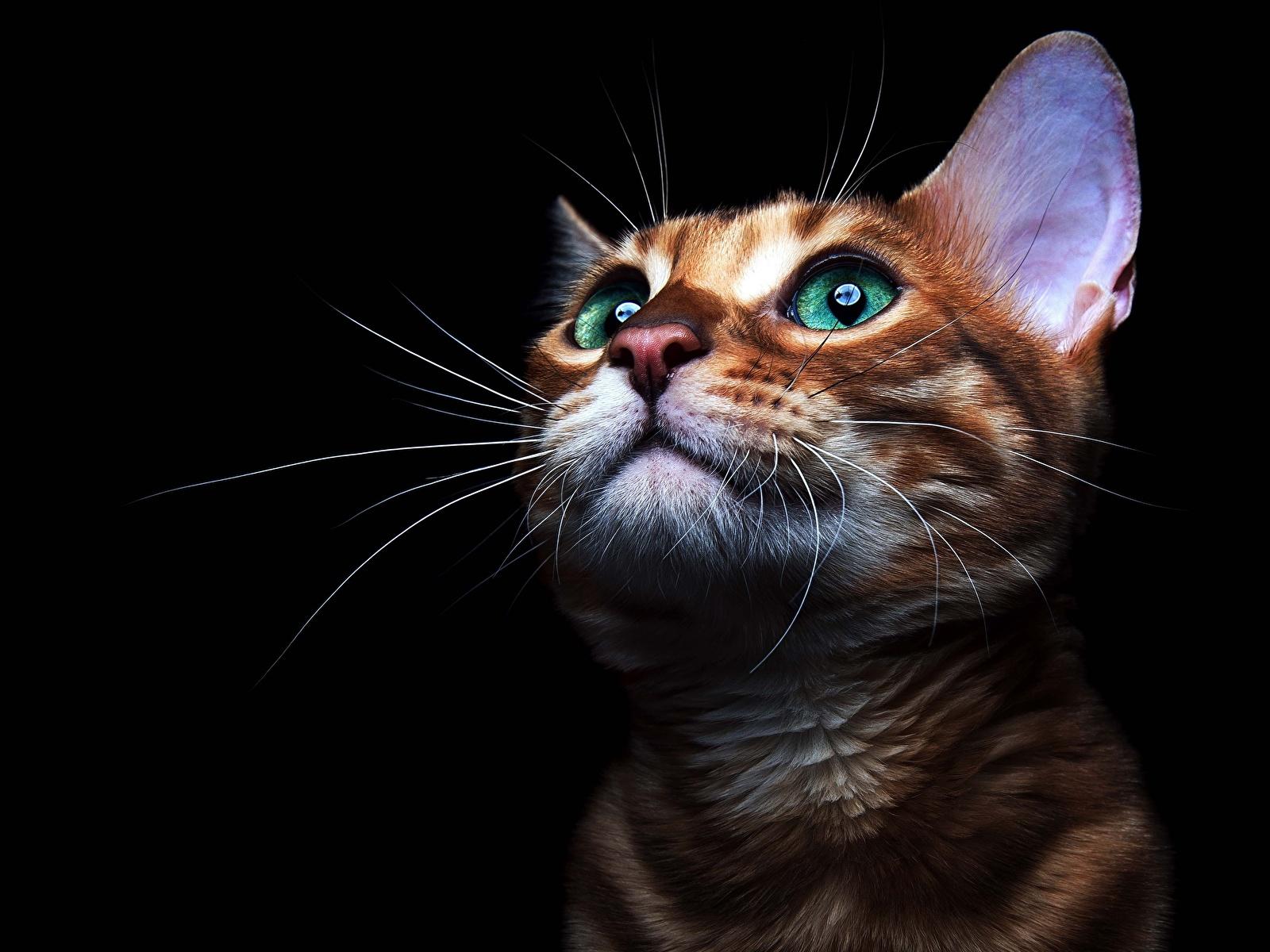 Картинки коты Усы Вибриссы морды Взгляд Животные Черный фон 1600x1200 кот кошка Кошки Морда смотрит смотрят животное на черном фоне