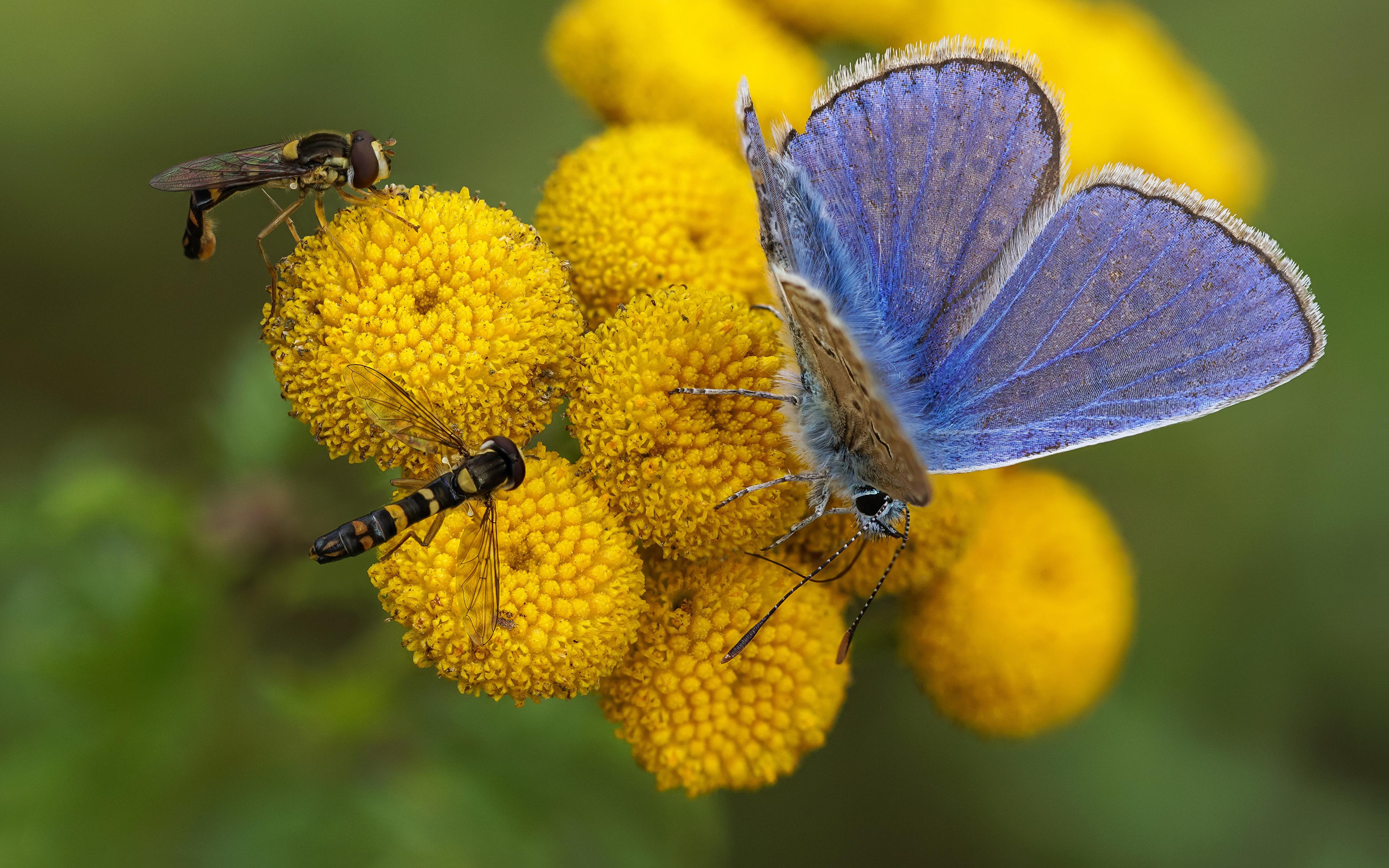 Обои для рабочего стола Мухи Бабочки Насекомые syrphids, common blue Животные 3840x2400 бабочка насекомое животное