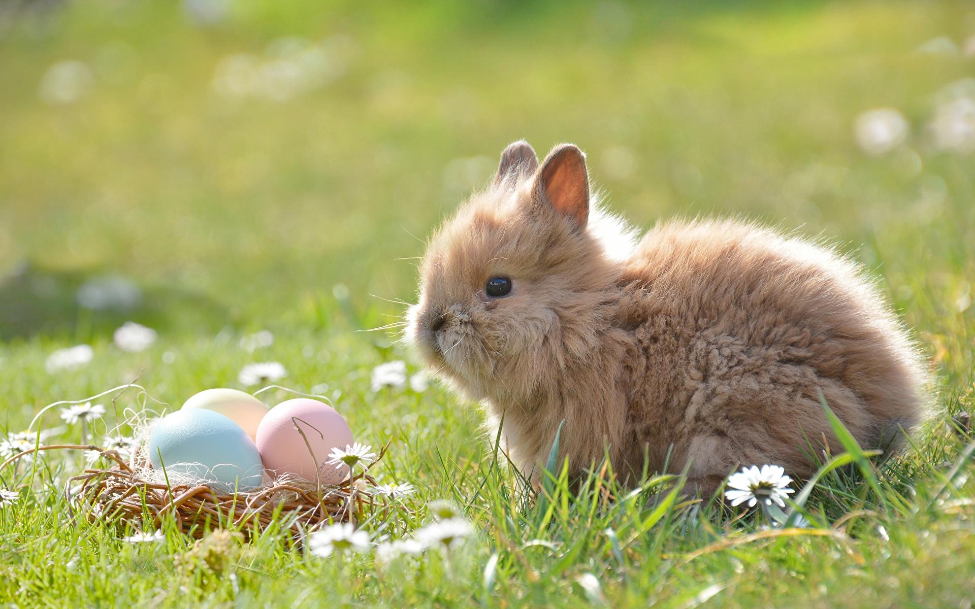 Картинка Пасха кролик яйцами траве Животные 1920x1200 Кролики яиц яйцо Яйца Трава животное