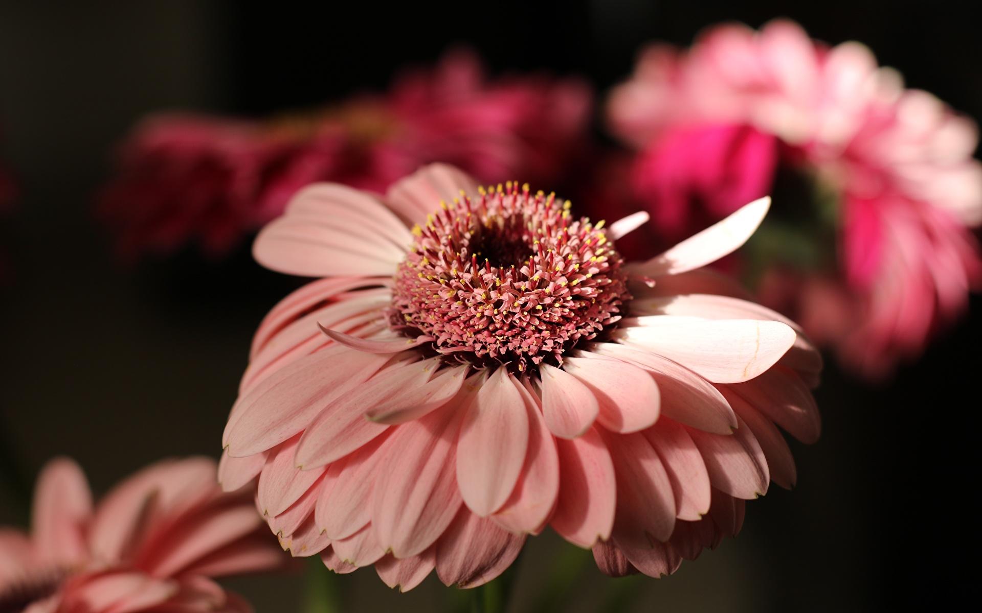 Фото боке гербера Розовый цветок вблизи 1920x1200 Размытый фон Герберы розовая розовые розовых Цветы Крупным планом