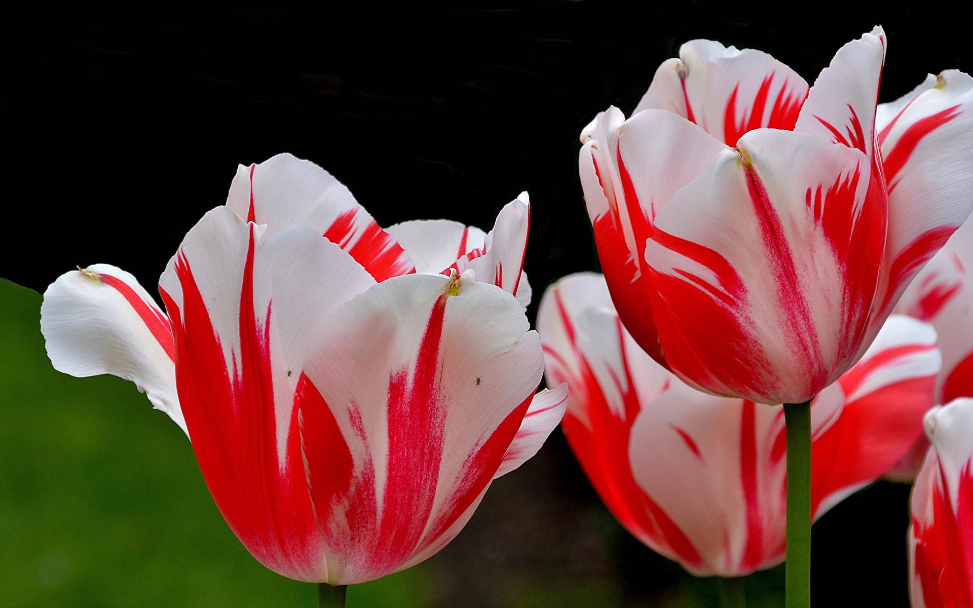 https://s1.1zoom.ru/b5050/579/Tulips_Closeup_459145_1920x1200.jpg