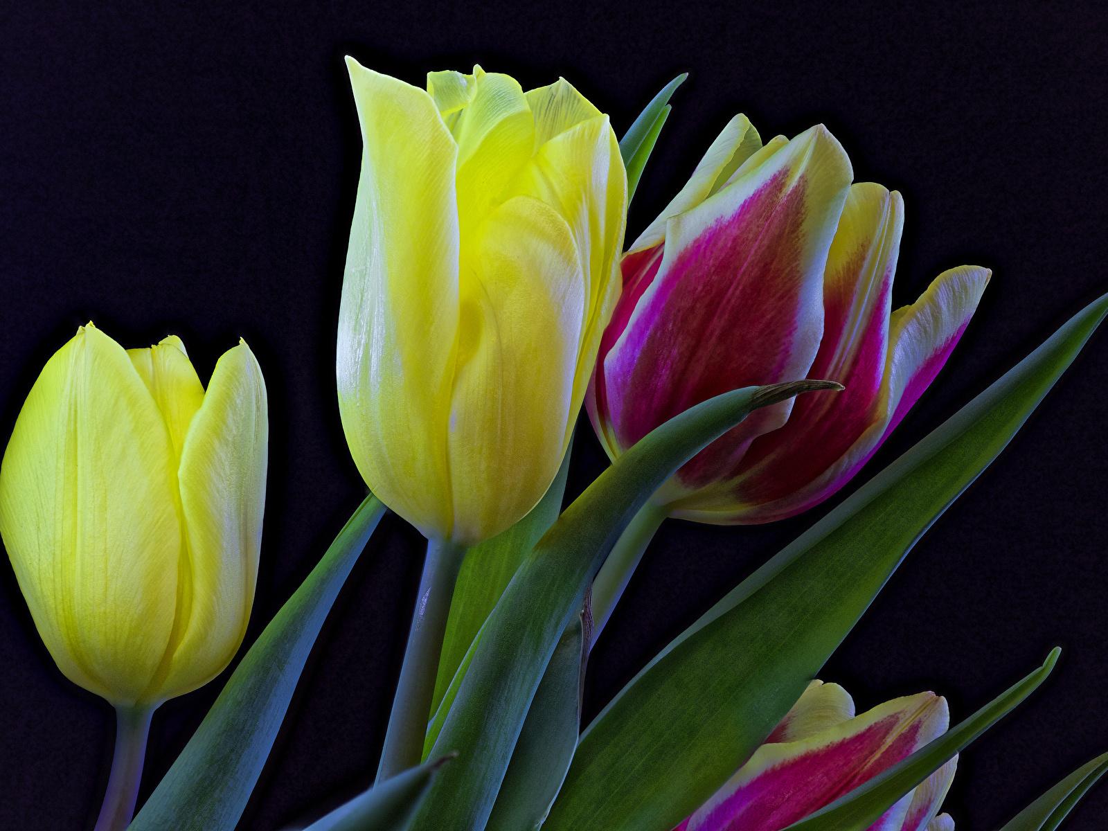 Обои Тюльпаны Цветы вблизи Черный фон 1600x1200 Крупным планом