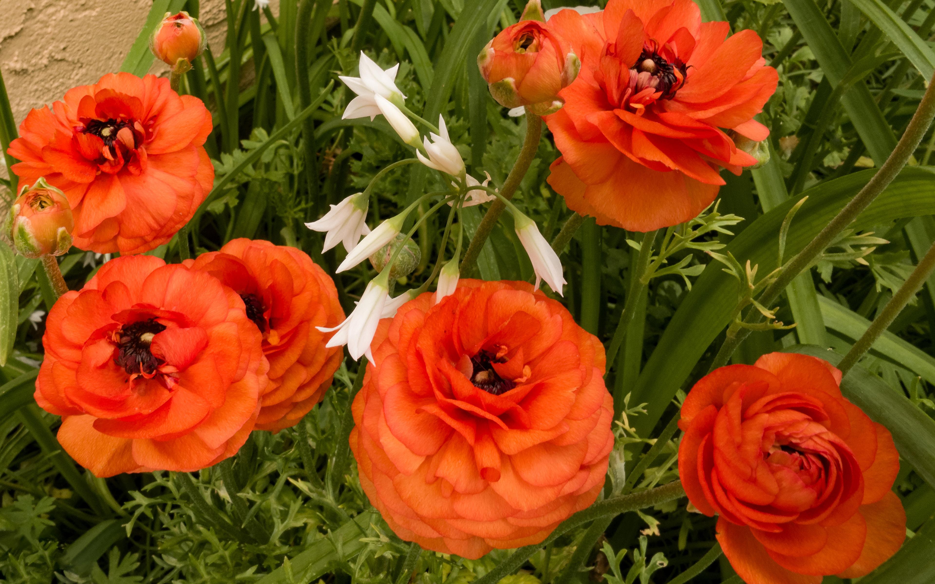 Цветы оранжевые лютик бесплатно