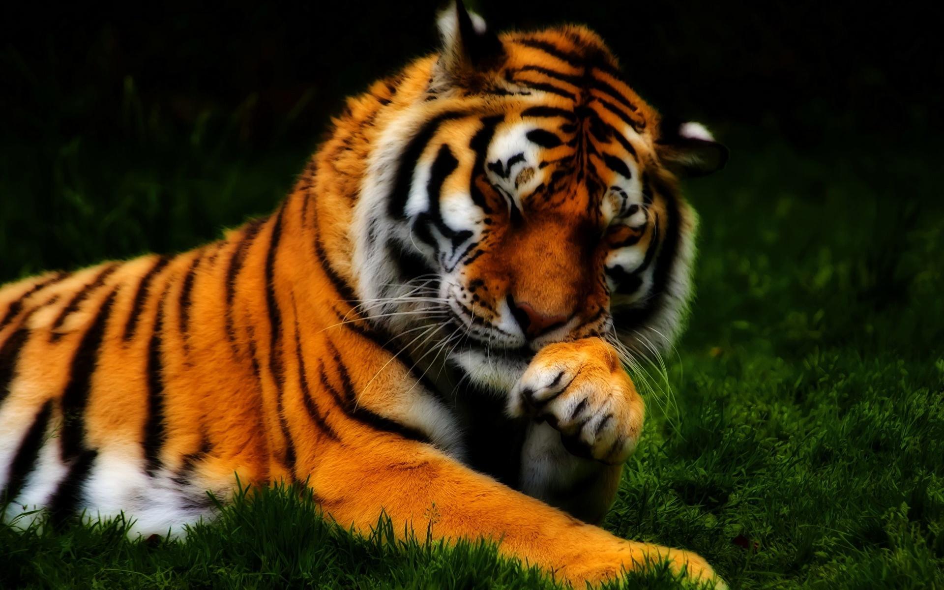 Тигр лежит мленький трава скачать