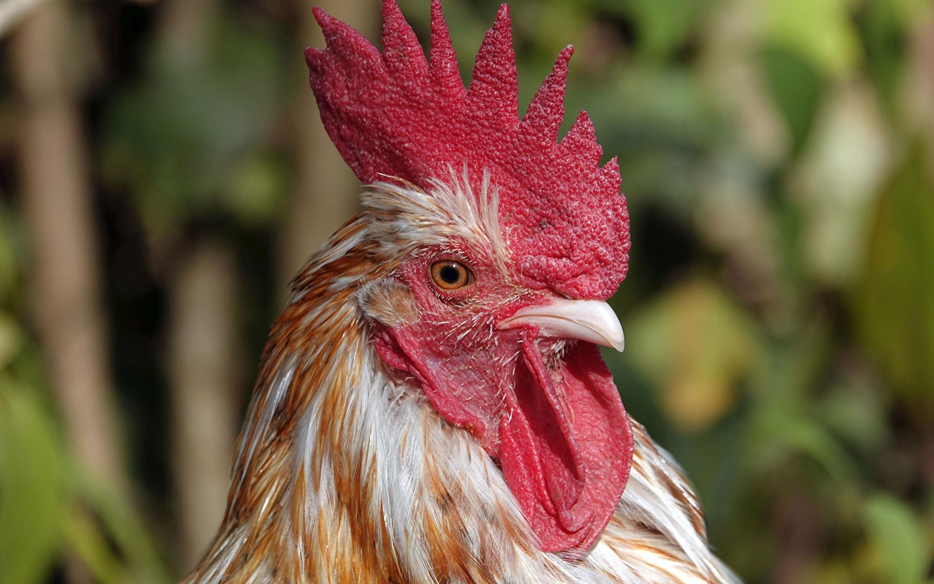 Фотография Птицы Петух Размытый фон головы Животные Крупным планом 1920x1200 птица боке вблизи Голова животное