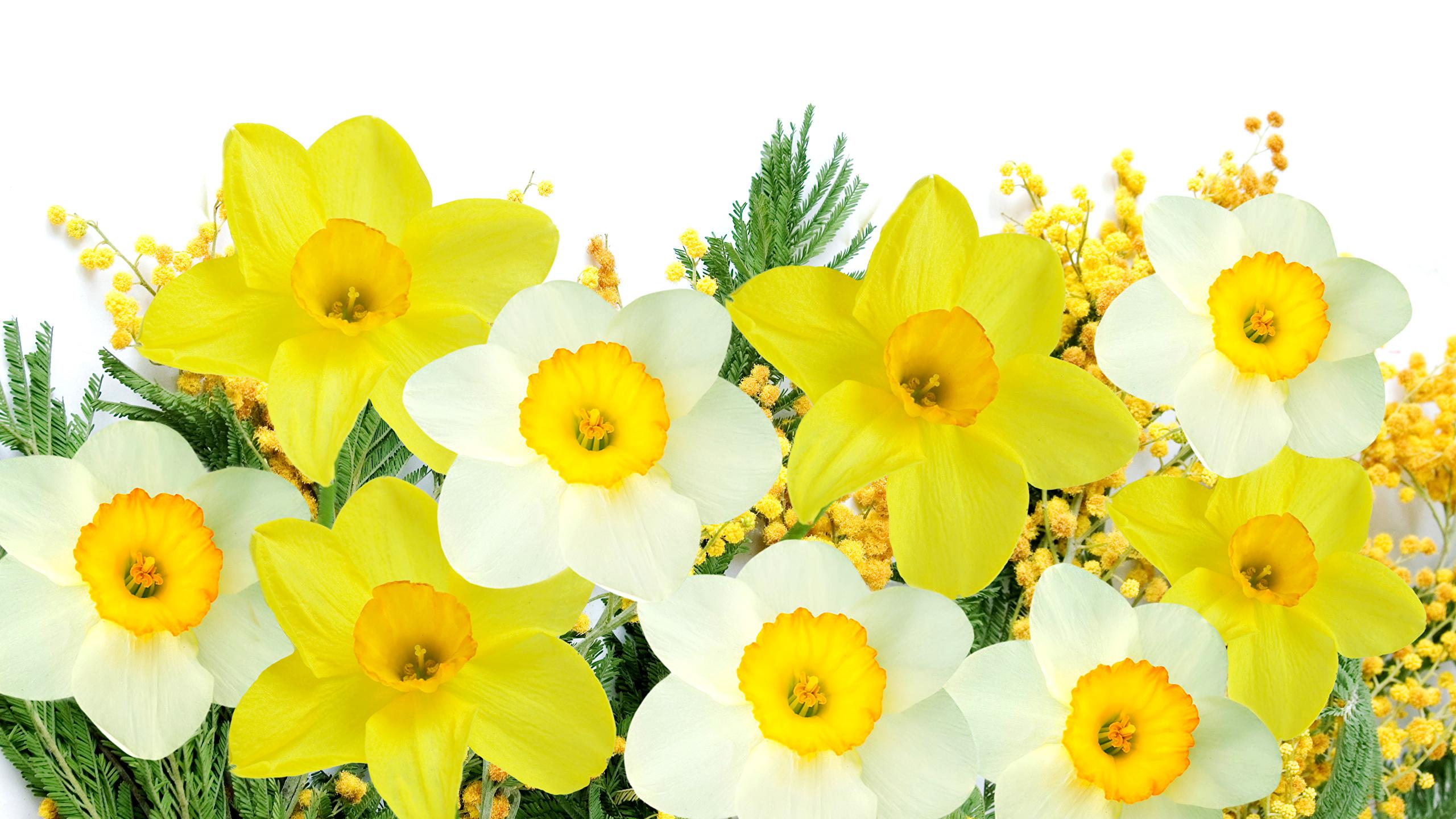 Картинки цветок Нарциссы вблизи Белый фон 2560x1440 Цветы белом фоне белым фоном Крупным планом