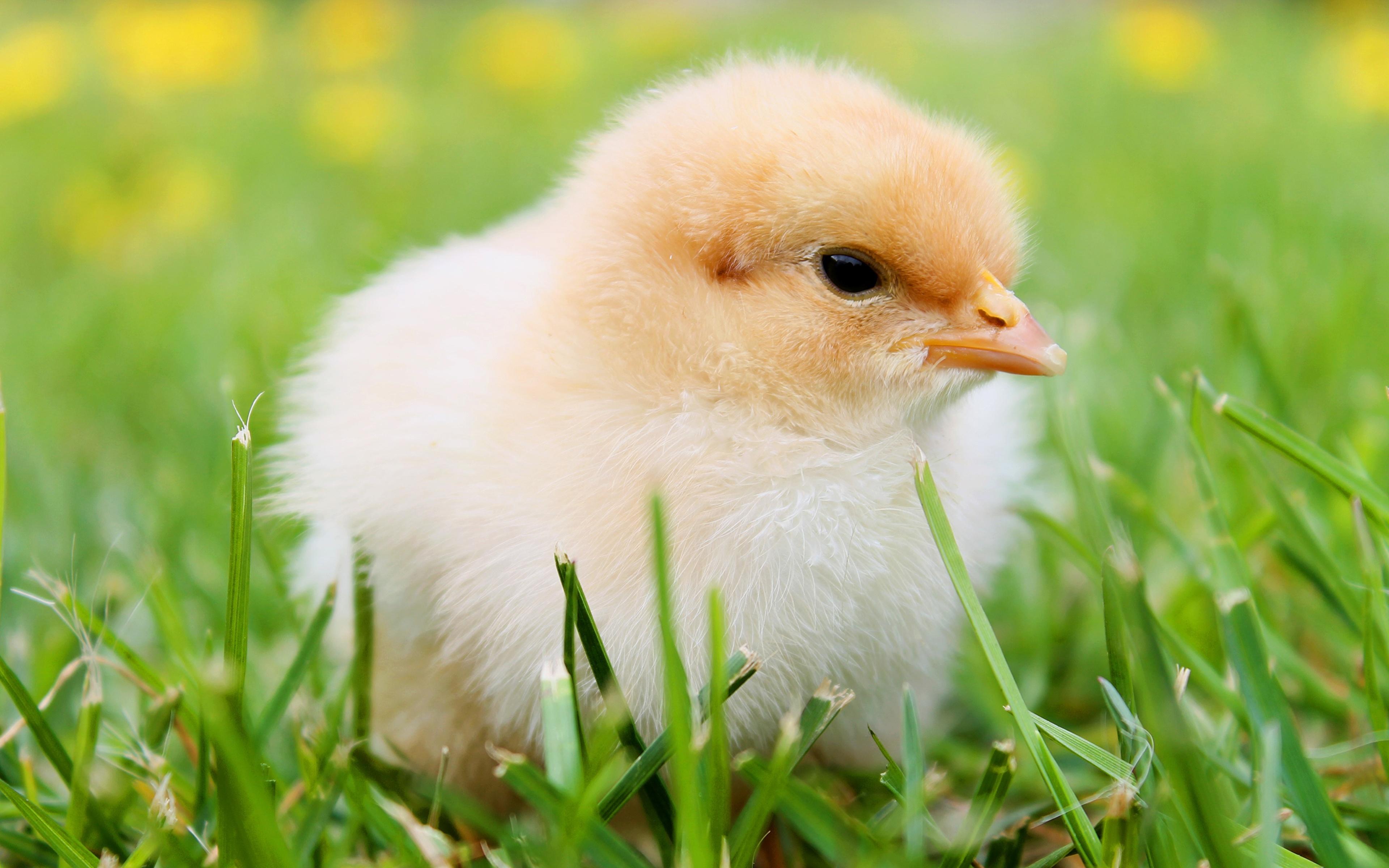 Картинки Птенец курицы Трава вблизи животное 3840x2400 Цыплята траве Животные Крупным планом