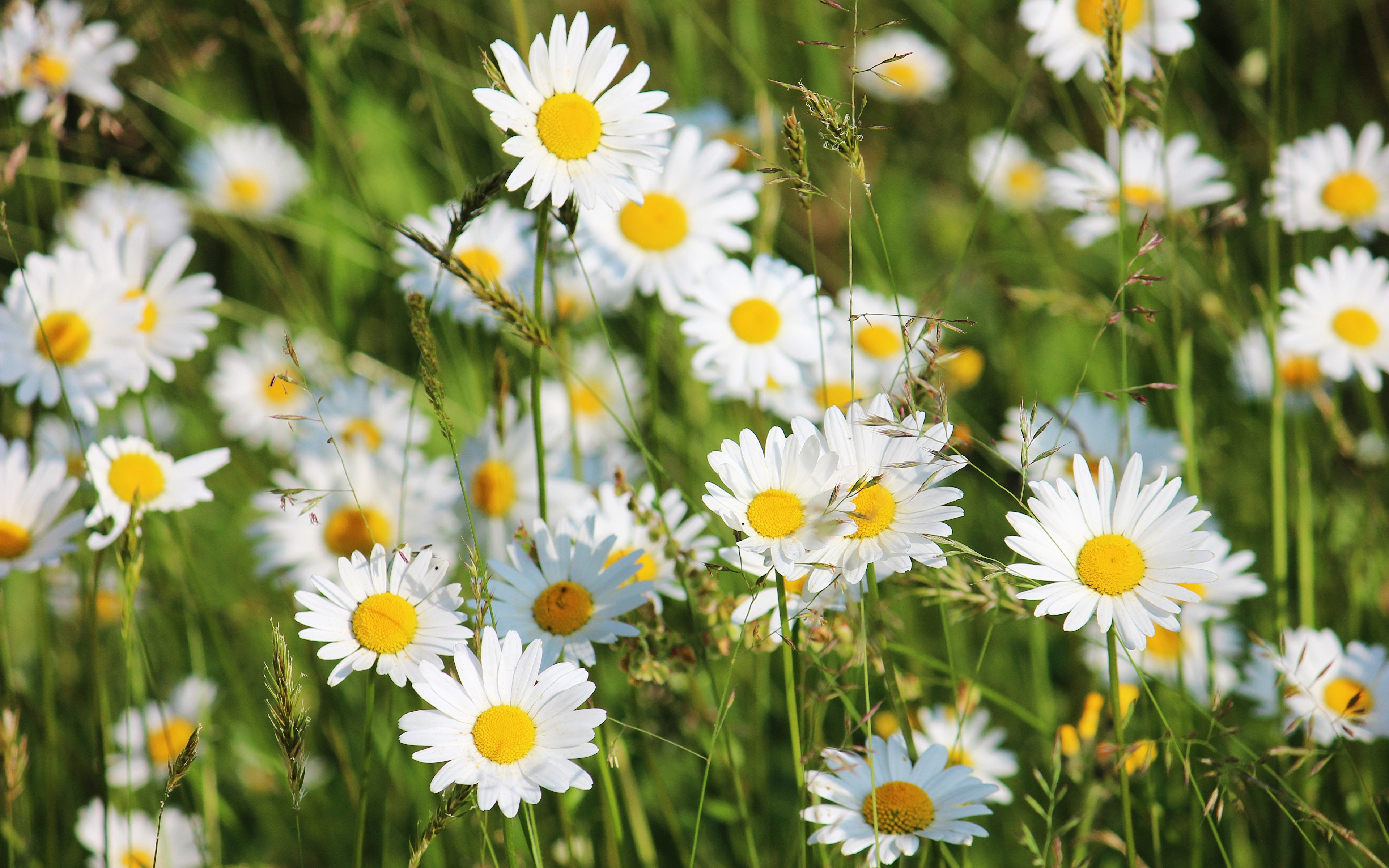 Картинка Размытый фон цветок ромашка Крупным планом 3840x2400 боке Цветы Ромашки вблизи