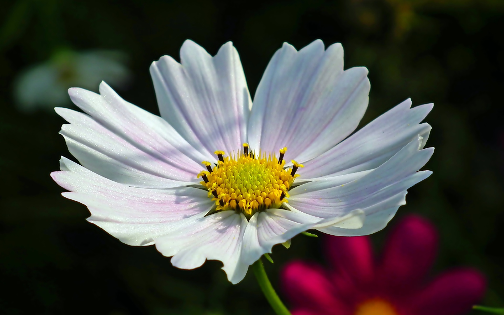 Фото боке белая Цветы Космея вблизи 1920x1200 Размытый фон Белый белые белых цветок Крупным планом