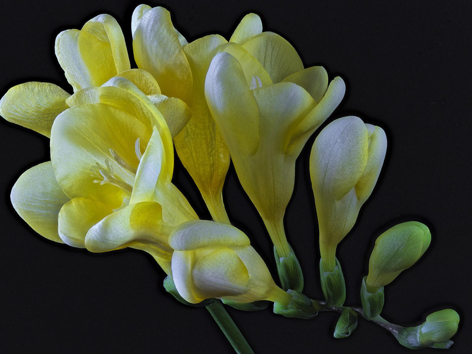 Обои для рабочего стола Желтый Цветы Фрезия вблизи на черном фоне 1600x1200 желтых желтые желтая цветок Черный фон Крупным планом