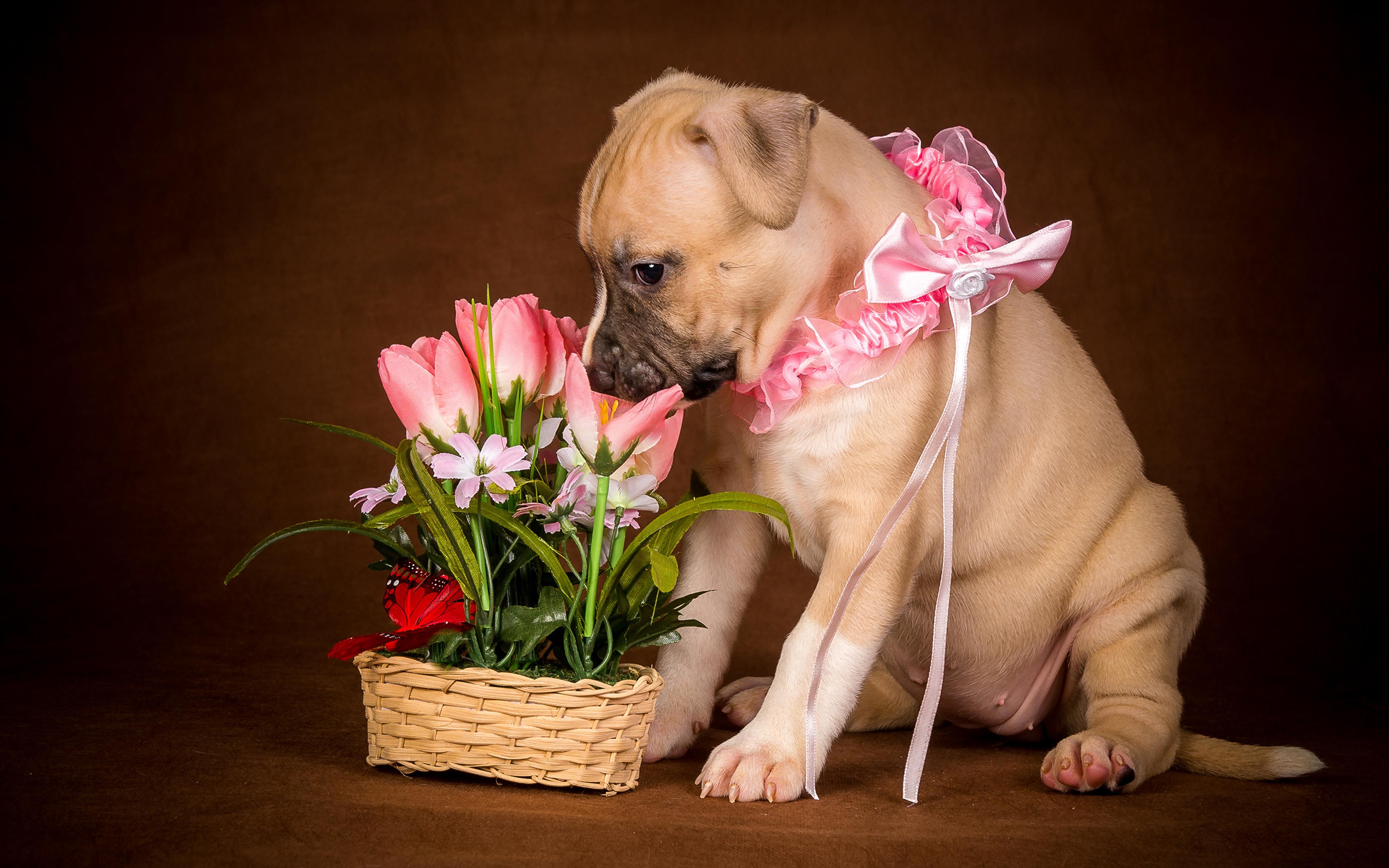Картинка Щенок Собаки тюльпан бант животное 3840x2400 щенки щенка щенков собака Тюльпаны Бантик бантики Животные